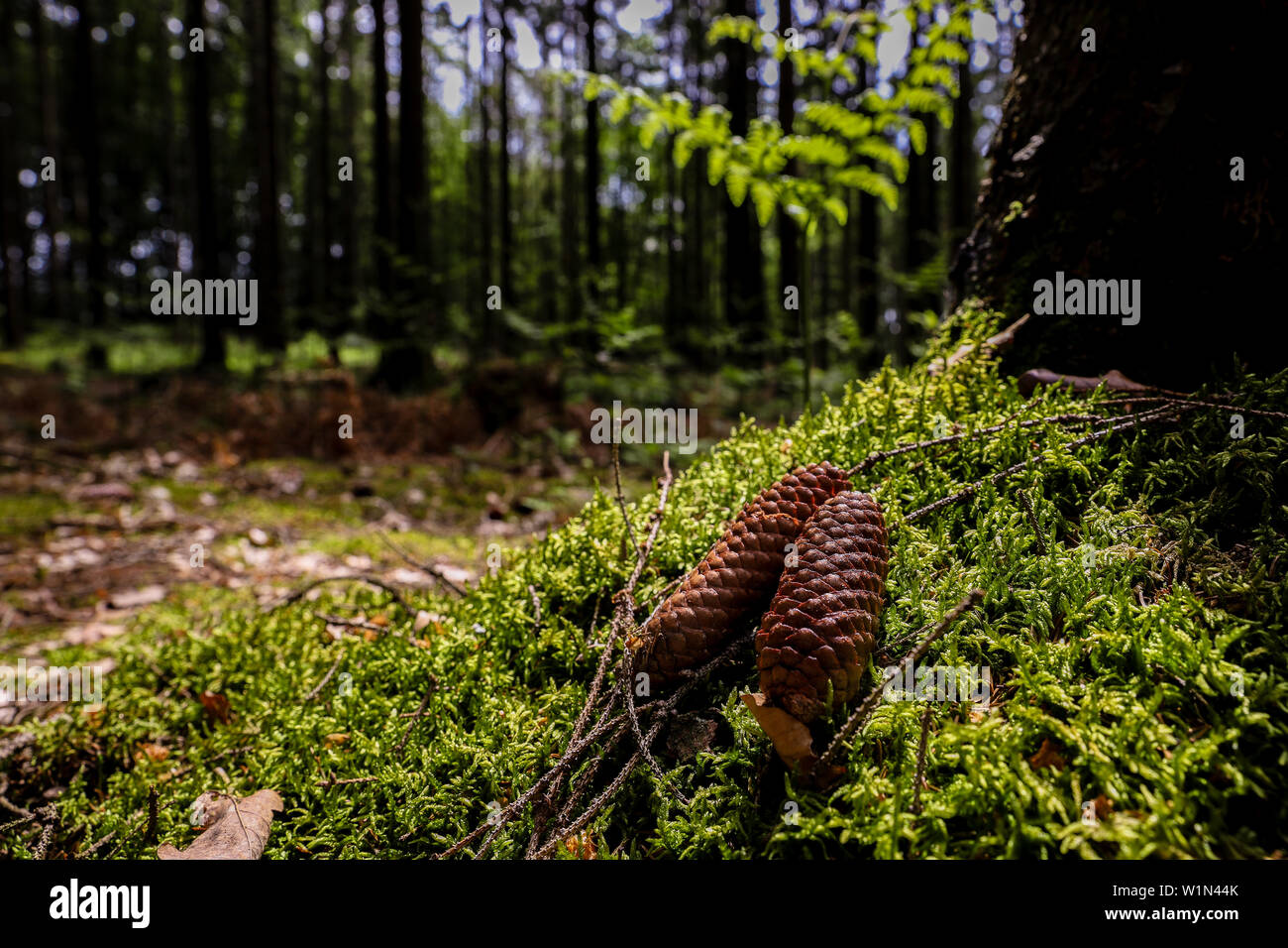 Pine cones fallen on forest ground with sunlight - Stock Image