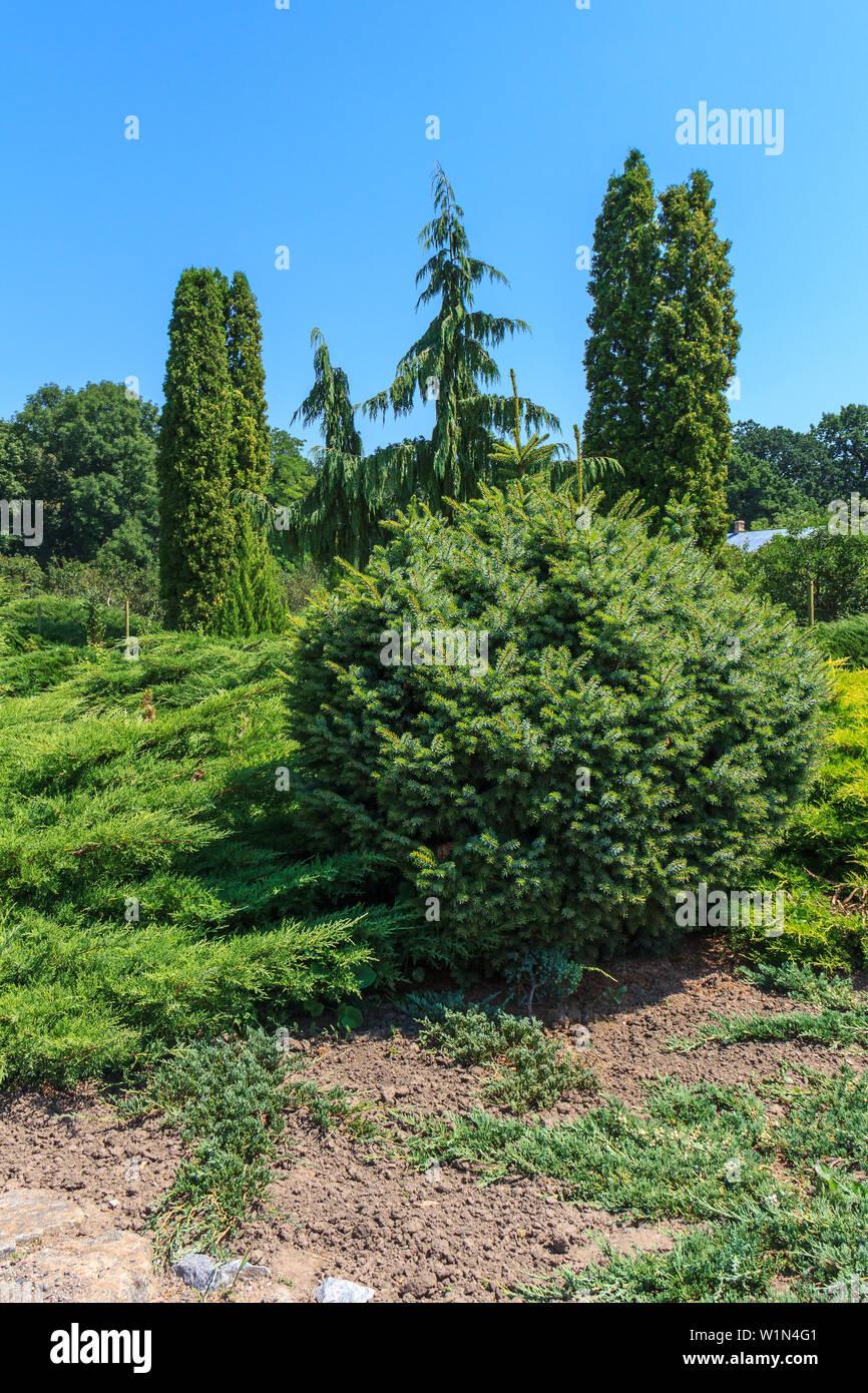 Garden of coniferous trees. Supressus nootkatensis, arborvitae, juniper, Picea glauca blue spruce - Stock Image