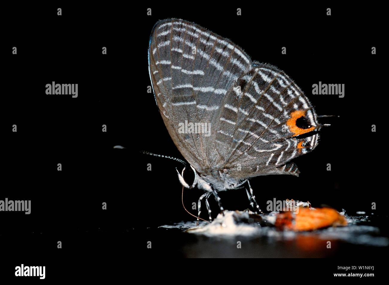 Tropical butterfly, Borneo, Sabah, Kota Kinabalu, Rafflesia Forest Reserve , Malaysia - Stock Image