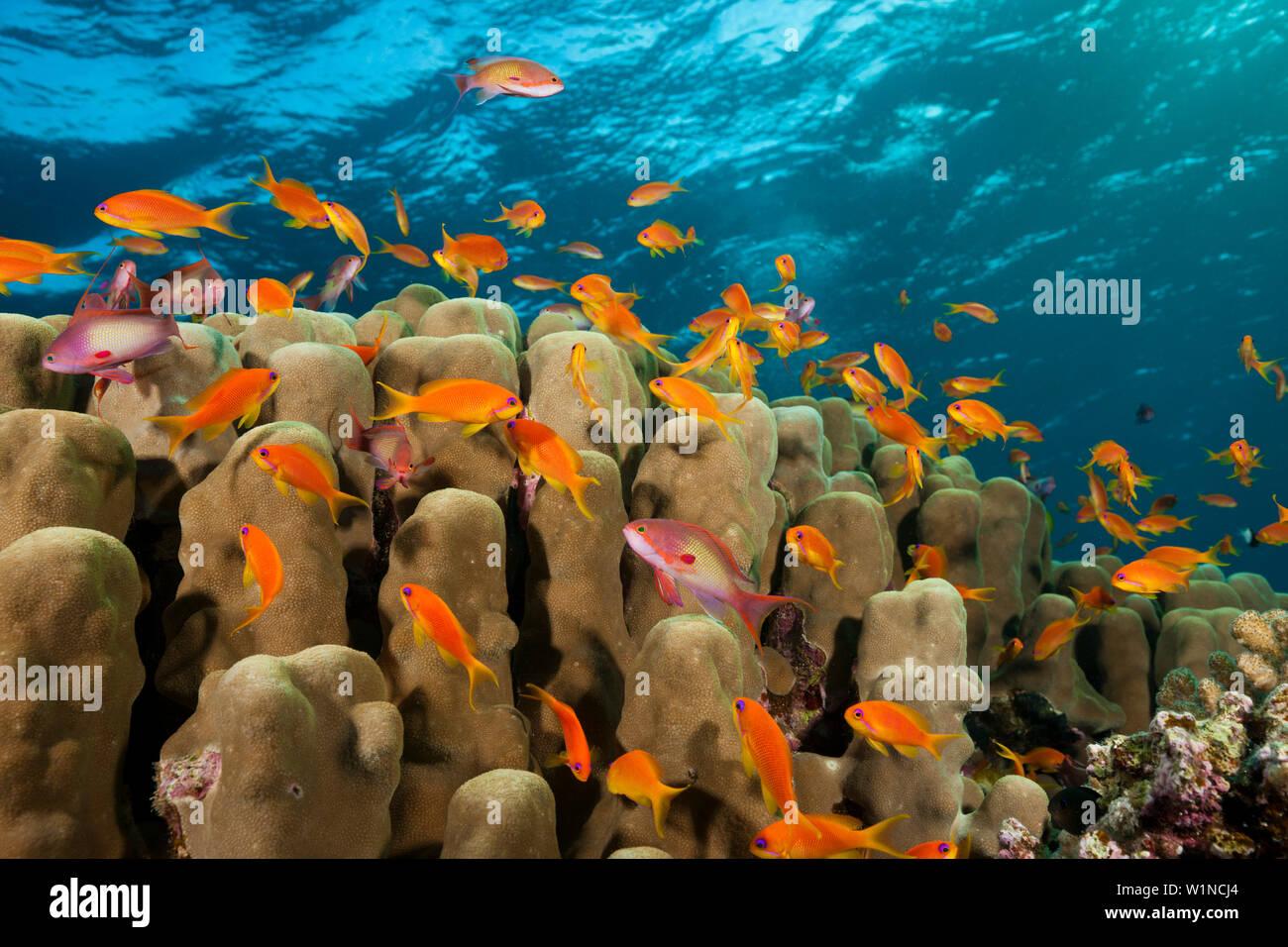 Lyretail Anthias Over Coral Reef Pseudanthias Squamipinnis Red Sea Ras Mohammed Egypt Stock Photo Alamy
