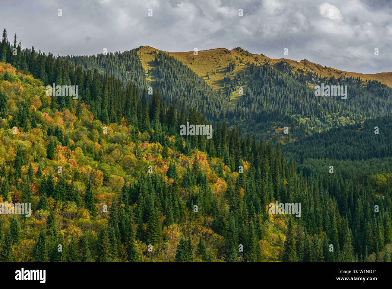 Mountain landscape with autumn colored trees and Tien Shan spruces, Kolsay Lakes National Park, Tien Shan Mountains, Tian Shan, Almaty region, Kazakhs Stock Photo