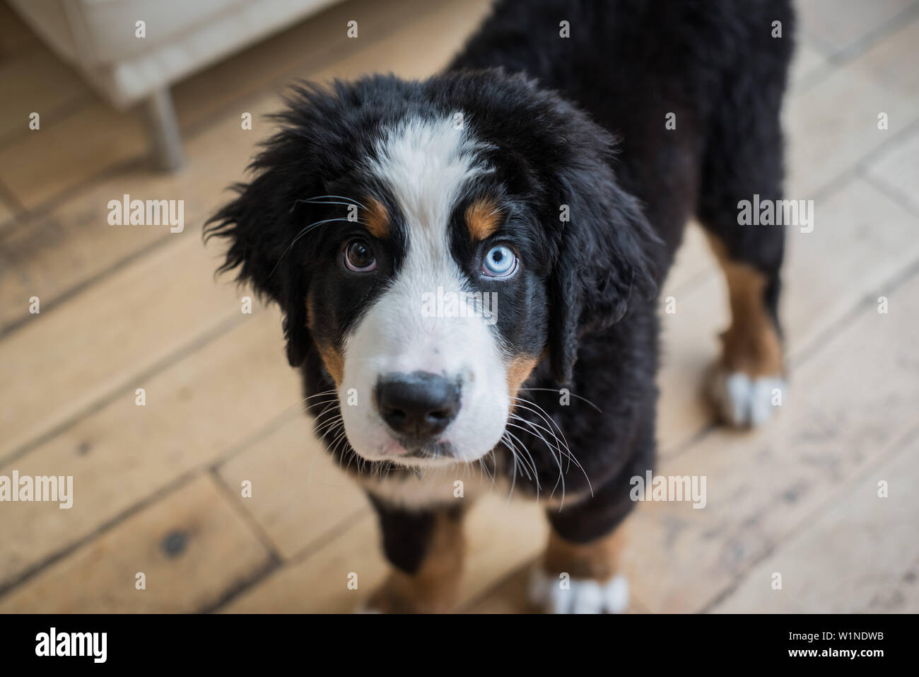 Bernese Mountain Dog Standing In Domestic Interior Looking