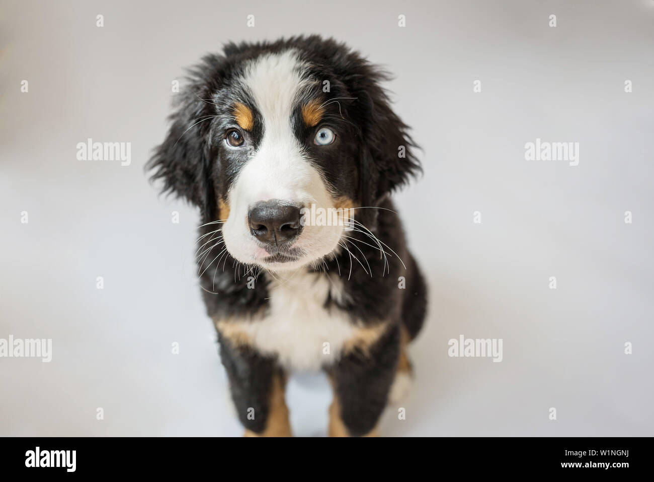 Bernese Mountain Dog Puppy With One Blue Eye Sitting Up And