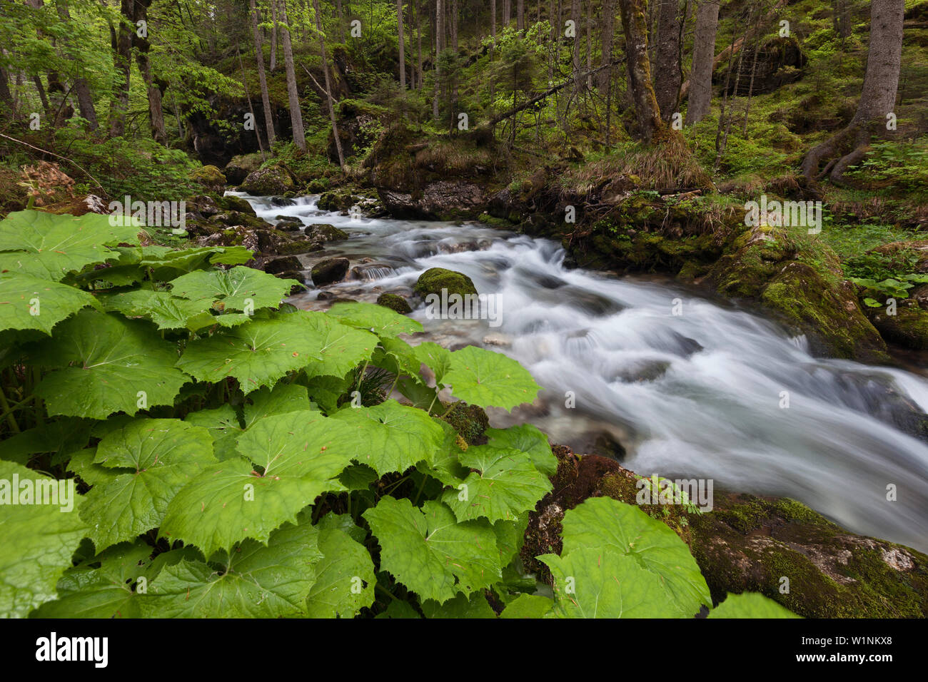 Mountain creek in Hartelsgraben woods in Spring with plants in the foreground, Gesaeuse National Park, Ennstal Alps, Styria, Austria - Stock Image