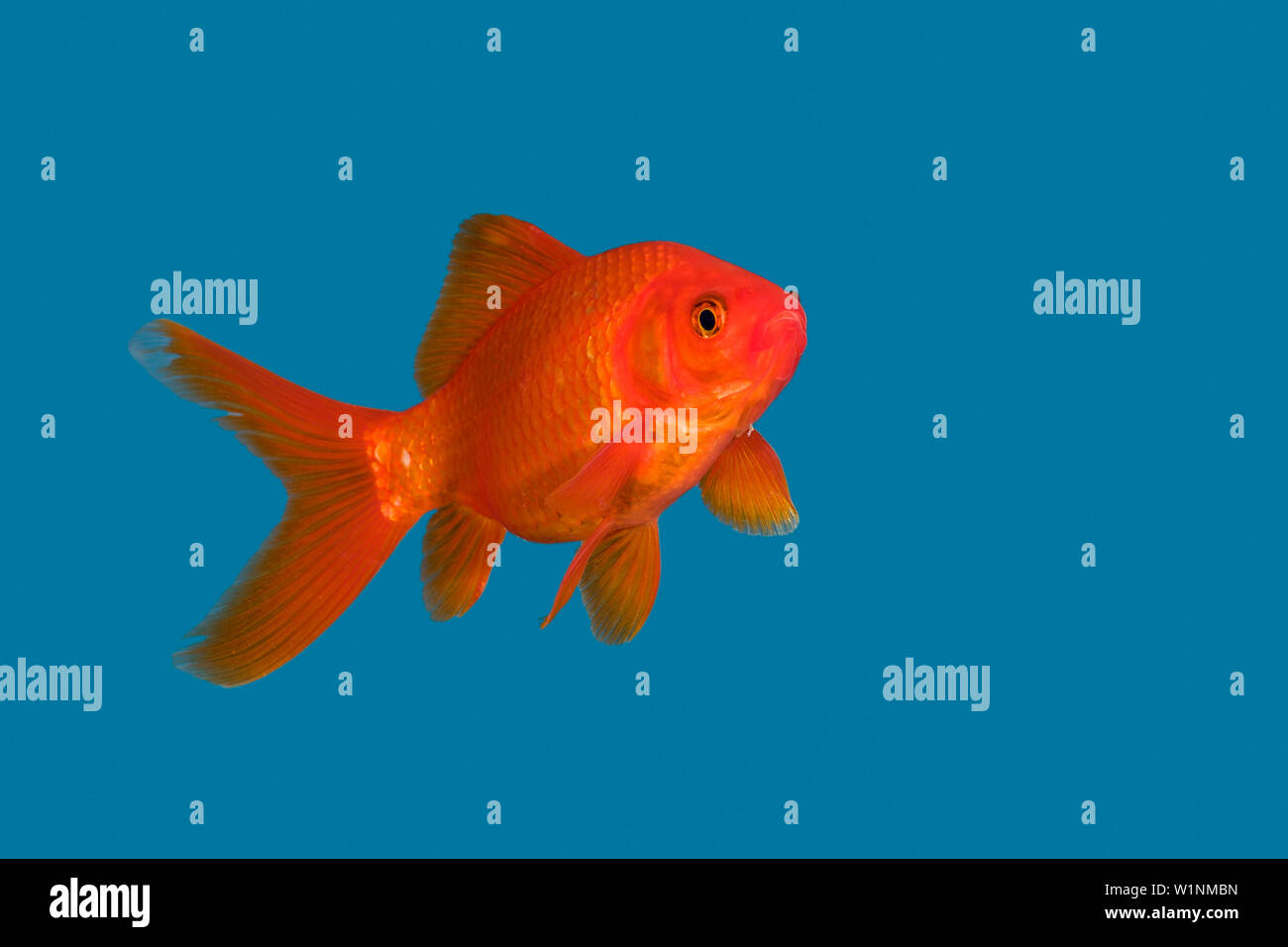 Goldfish in blue water, Carassius auratus, captive - Stock Image
