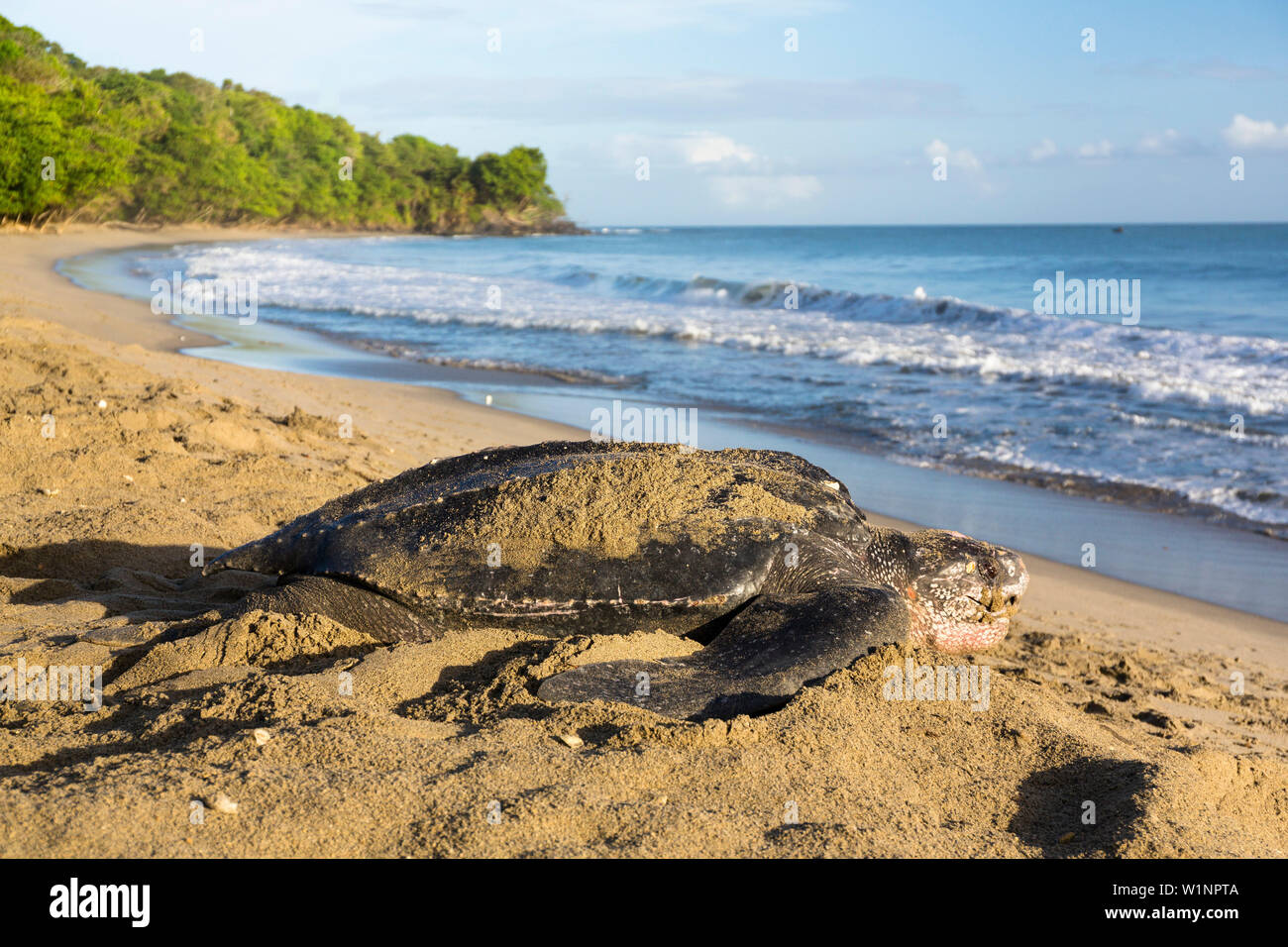 Leatherback Turtle On The Beach Dermochelys Coriacea