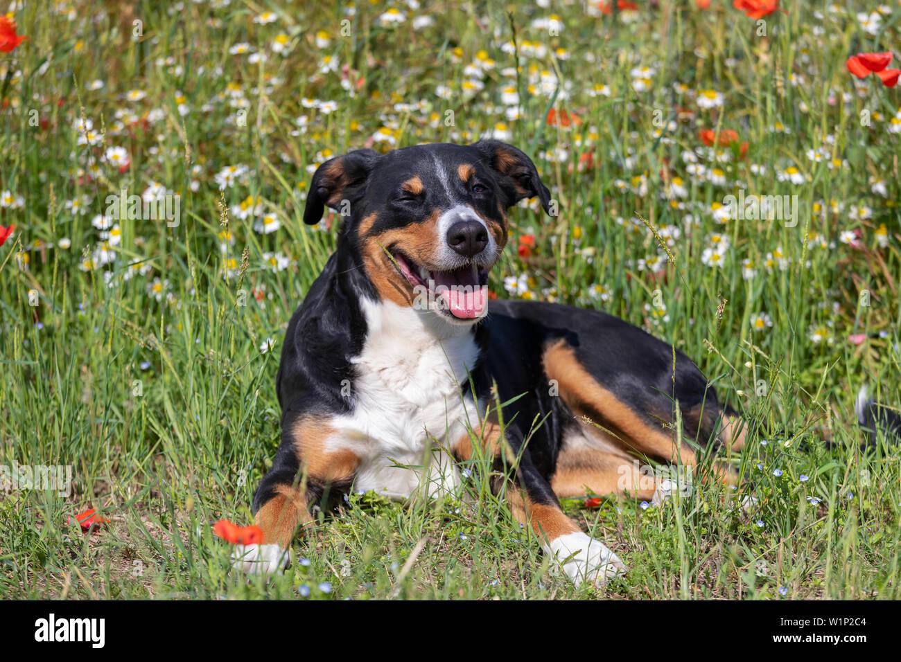 Dog Appenzeller Sennenhund Portrait In Grass With Flowers