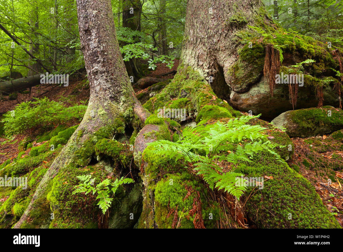 Moss and fern at the roots of a spruce, hiking path to Grosser Falkenstein, Bavarian Forest, Bavaria, Germany - Stock Image