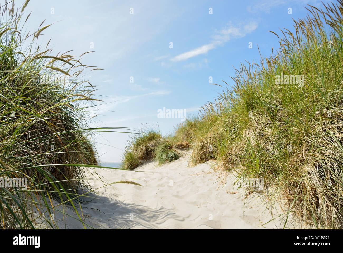 sand dune, marram grass, footpath, Baltrum, East Frisian Islands, North Sea, Aurich - district, Lower Saxony, Germany, Europe Stock Photo
