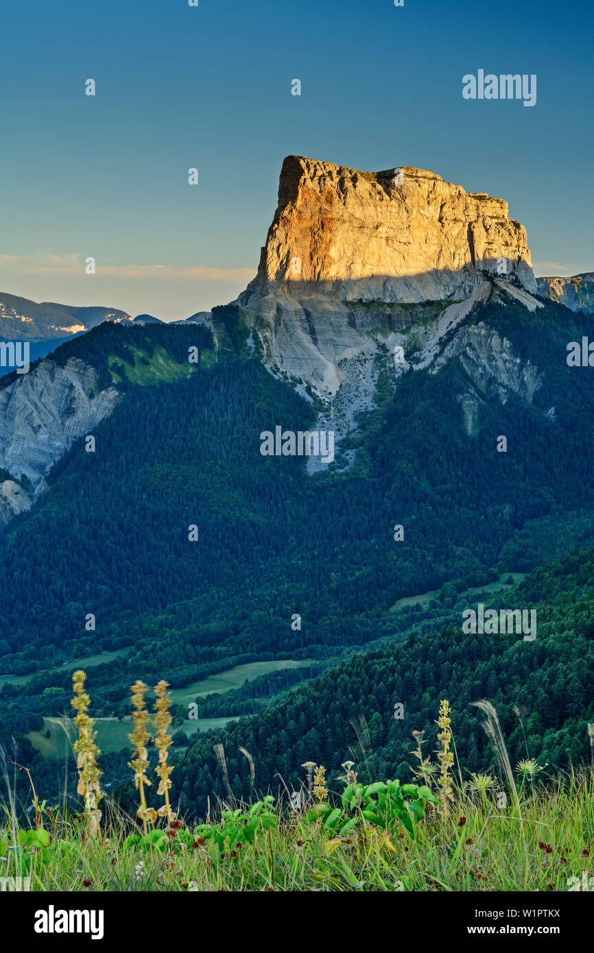 Flower meadow with Mont Aiguille in the sunset in the background, from the Grand Brison, Vercors, Dauphine, Dauphine, Isère, France - Stock Image