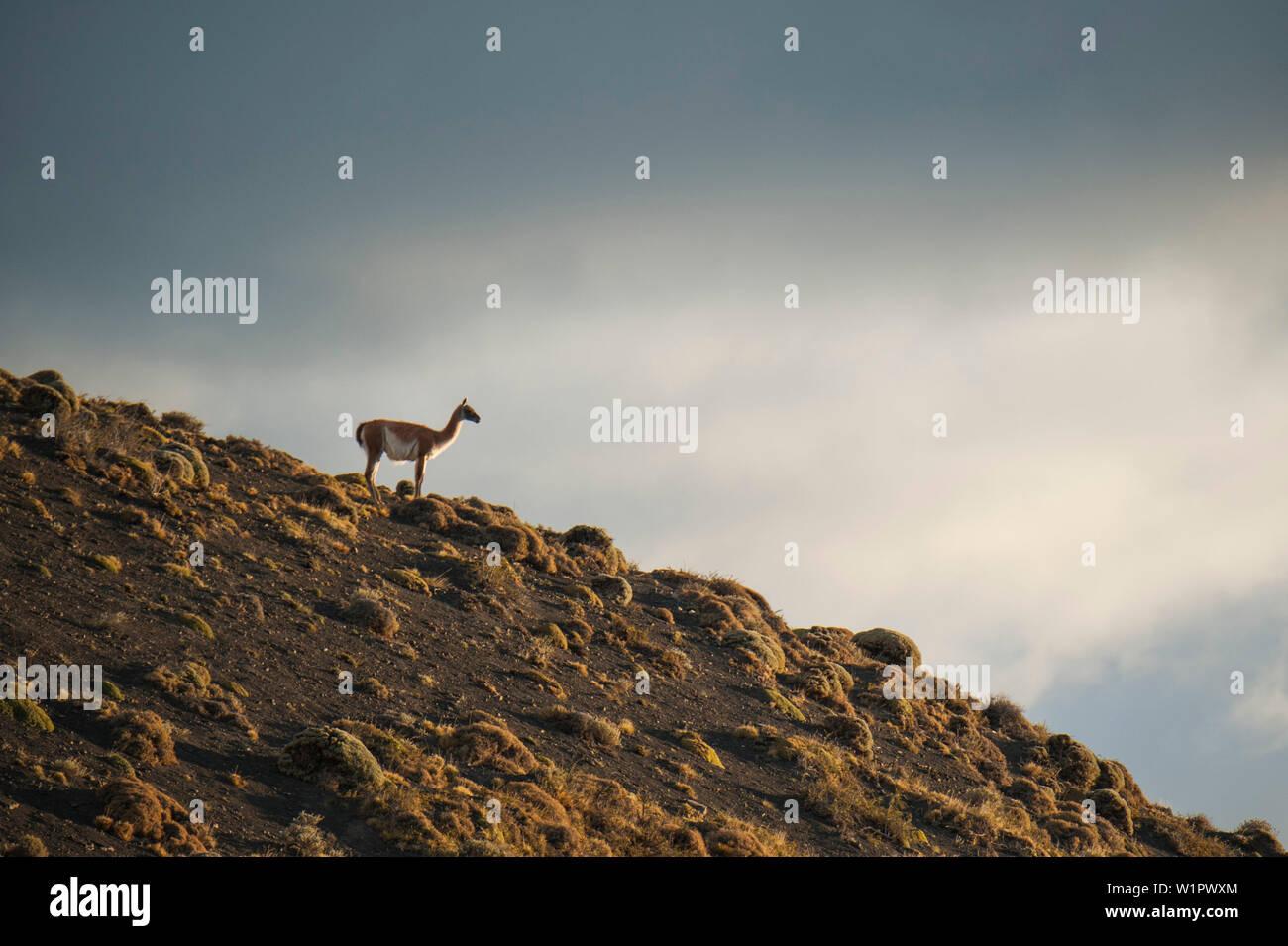 A guanaco (Lama guanicoe) stands alone on a hillside in the sun, Torres del Paine National Park, Magallanes y de la Antartica Chilena, Patagonia, Chil - Stock Image