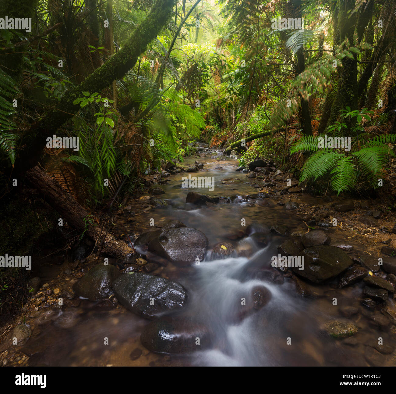Rainforest and stream, Coromandel, Thames-Coromandel District, Coromandel Peninsula, North Island, New Zealand, Oceania - Stock Image