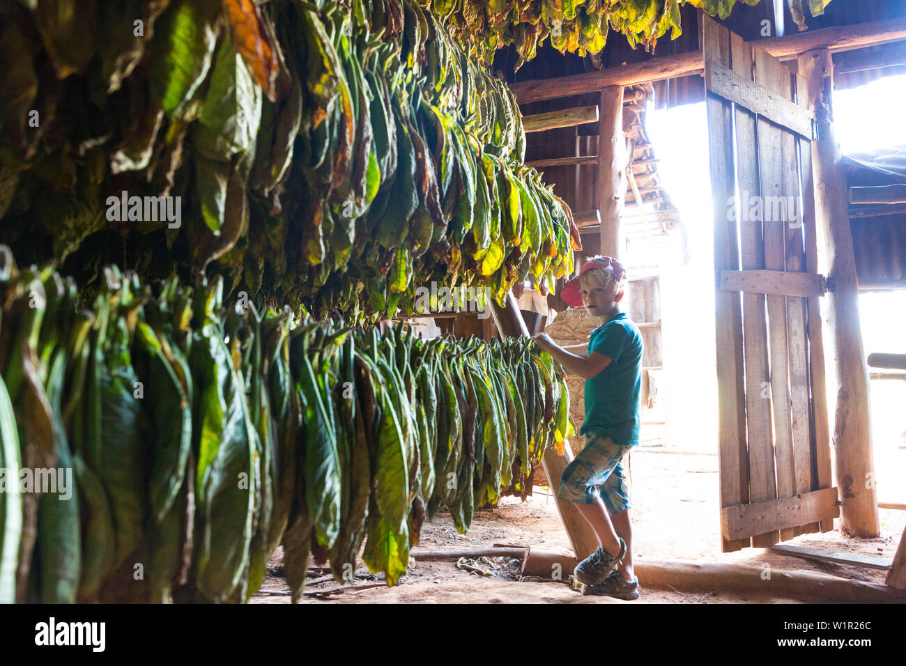 Boy looking at tobacco leaves hung up to dry, best tobacco region in the world, cigars, fields in Vinales, beautiful nature, family travel to Cuba, pa - Stock Image