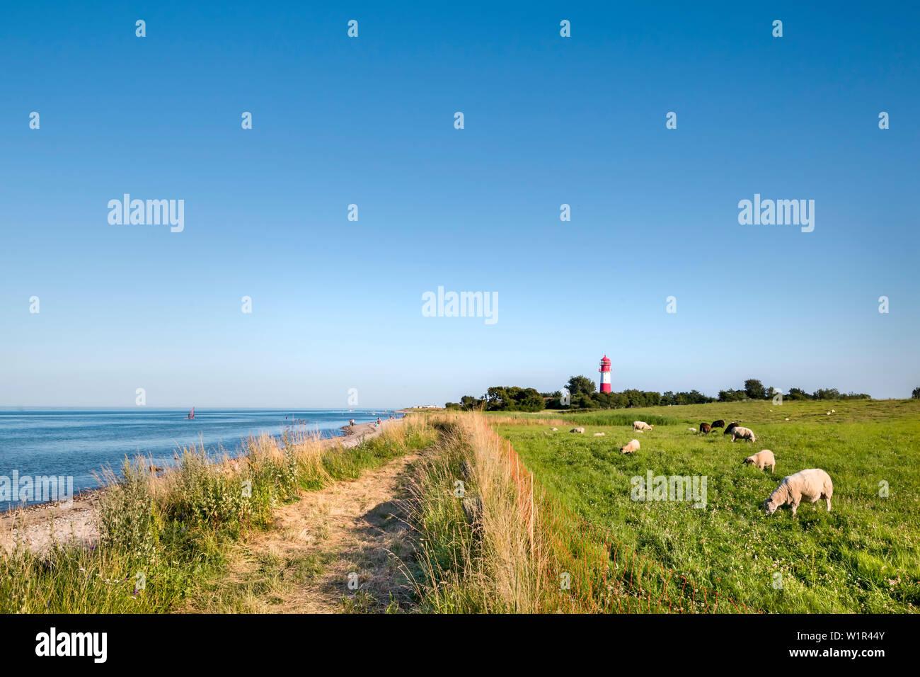 Sheep in front of Falshoeft lighthouse, Falshoeft, Angeln, Baltic coast, Schleswig-Holstein, Germany - Stock Image