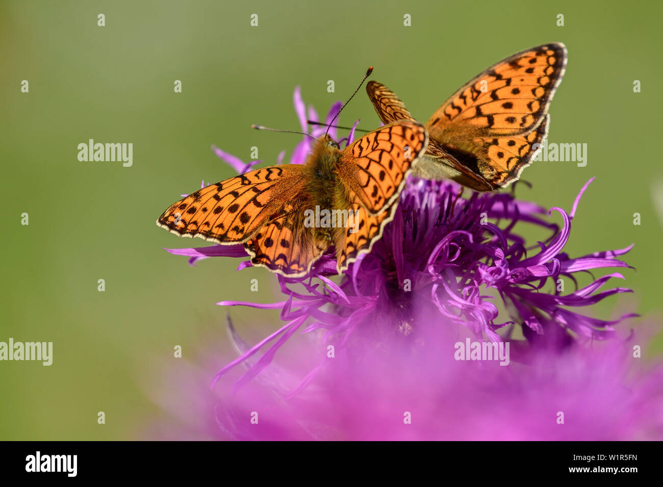 Two Queen of Spain fritillaries sitting on blossom, Issoria lathonia, Dauphine, Dauphiné, Hautes Alpes, France - Stock Image