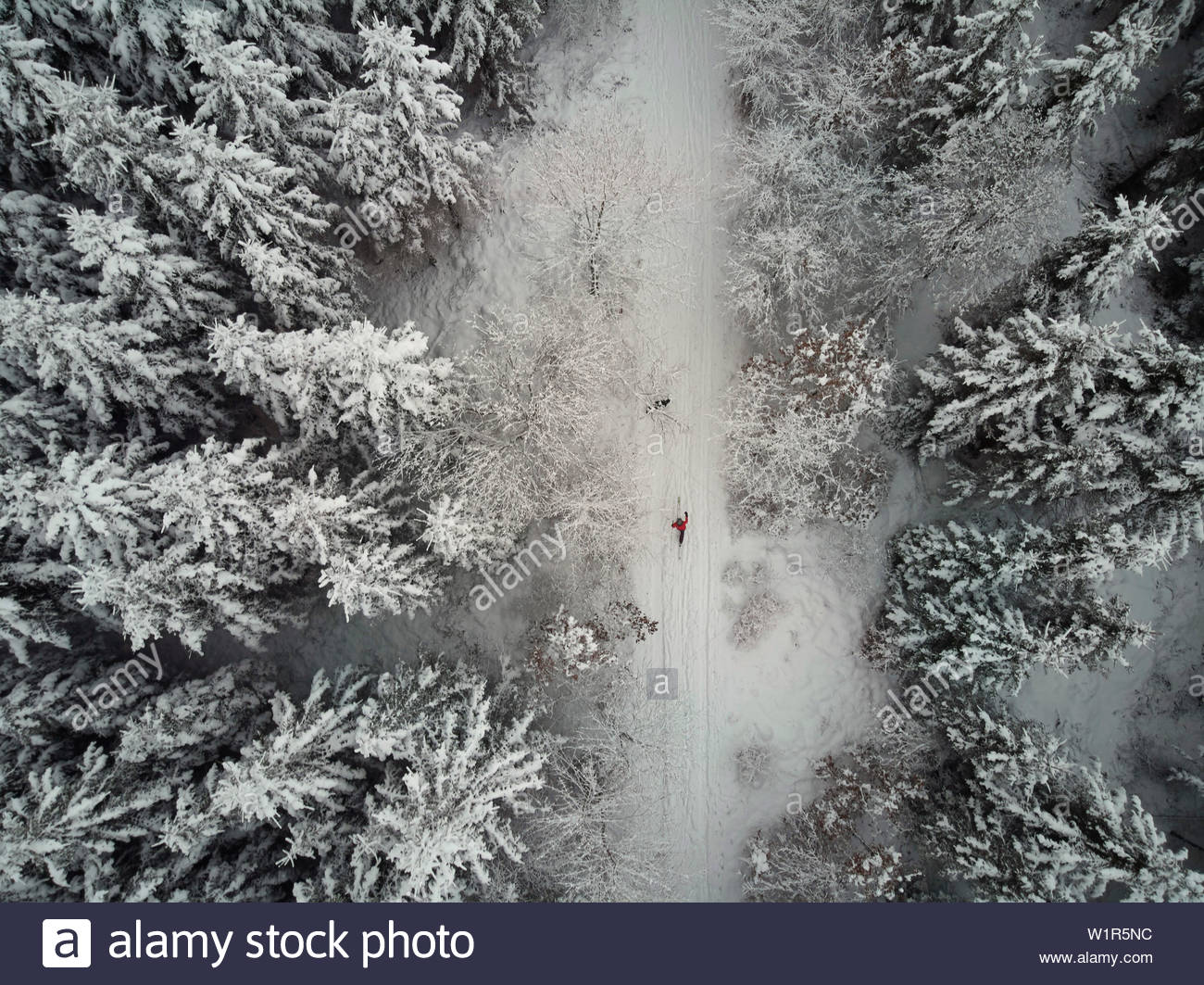 Woman on cross country skiers with her dog in a snow covered conifer forest, Graefelfing, Bavaria, Germany - Stock Image