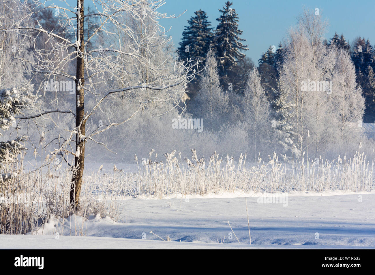 trees with whitefrost in winter, Upper Bavaria, Germany, Europe Stock Photo