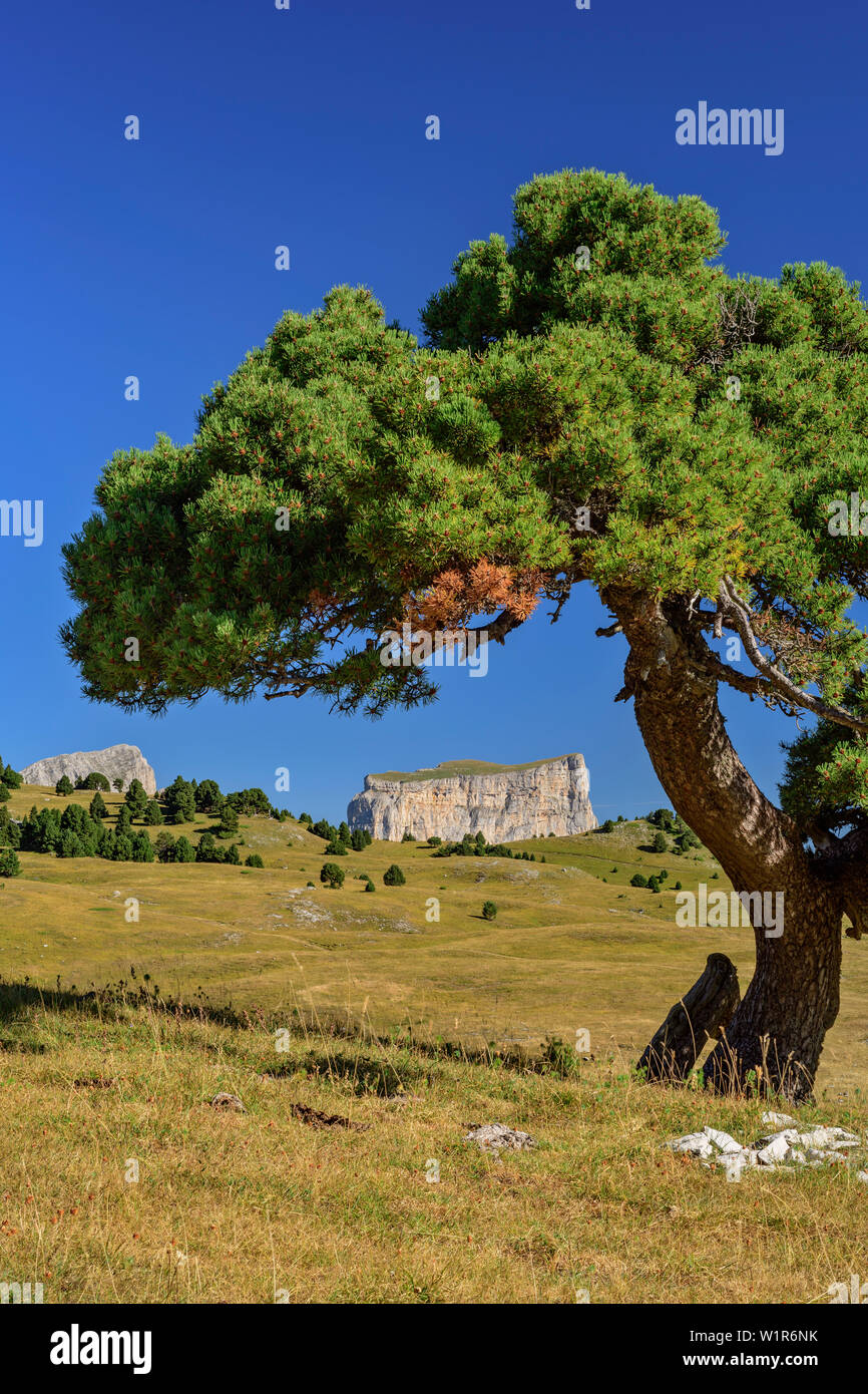Pine with Mont Aiguille in the background, Tête Chevalier, Vercors, Dauphine, Dauphine, Isère, France - Stock Image