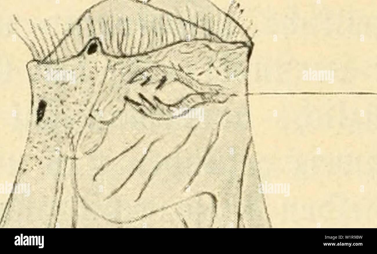 Archive image from page 45 of Das süsswasser-plankton; einführung in die. Das süsswasser-plankton; einführung in die freischwebende organismenwelt unserer teiche, flüsse und seebecken  dasssswasserpl00zach Year: 1911 36 VII. ie 3ftöbertiere be Ianton§.    i Srer fftemattfden Stellung ttac gepren bie SRöbertiere gu ben Söürmern; barauf beuten oüe inseleiten tt)rer Organifation {)in, unb e§ ift bat)er nicftt red)t begreiflid), tüie ber berühmte 9iatur= forjder Sr. ÖJottfrieb (Srenberg feiner3eit(l838)ba5u om men fonnte, fie gu ben Snfuforten ju fteüen. @§ gibt metjrere unbert (Spegieg üon ftotat - Stock Image