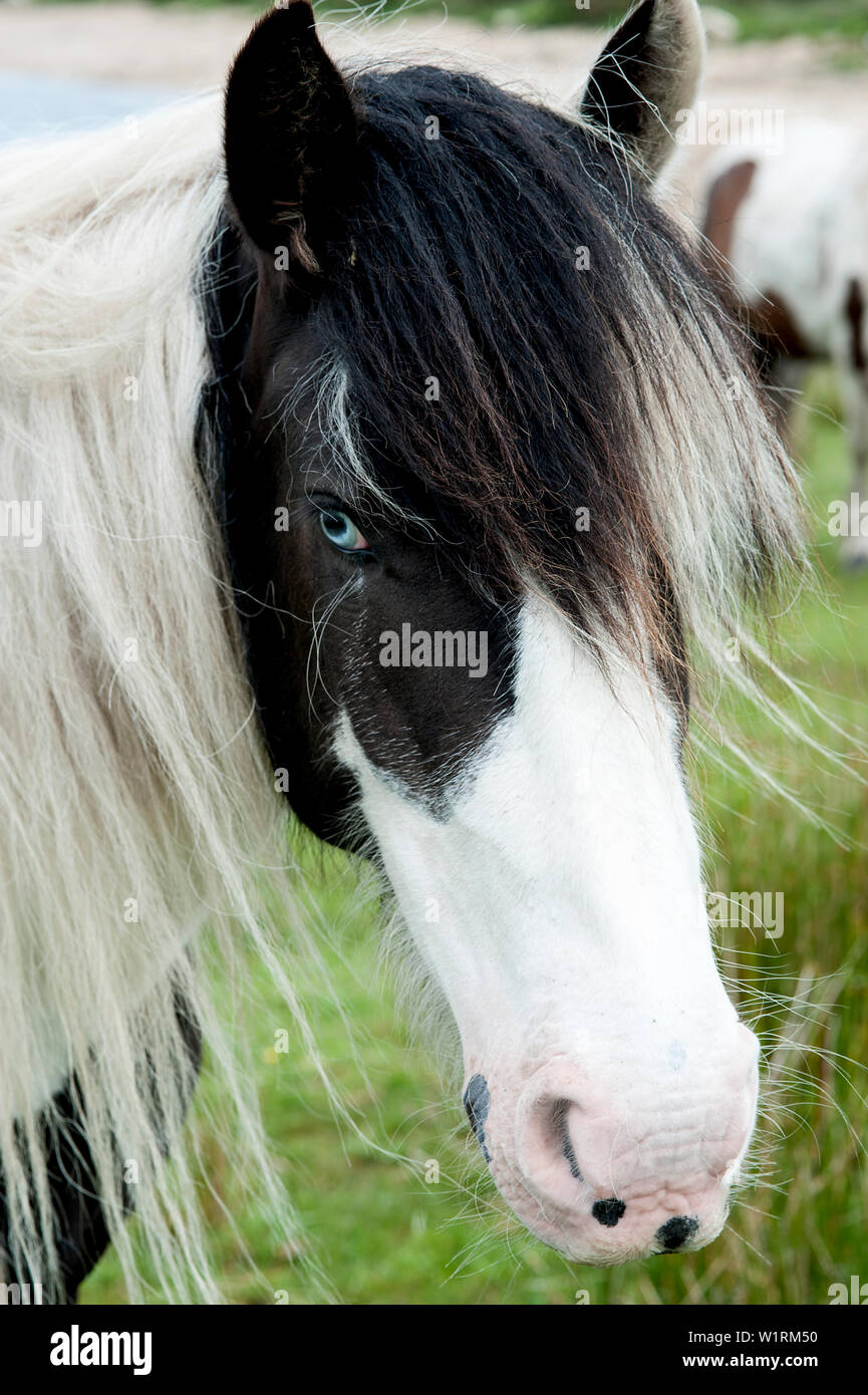 Wild pony on Bodmin Moor on the shores of Colliford Lake in Cornwall, England. Stock Photo
