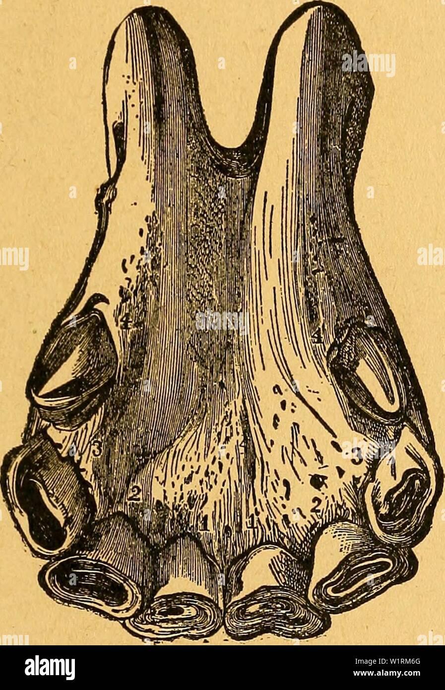 Archive image from page 70 of Das pferdebuch des amerikanischen farmers. Das pferdebuch des amerikanischen farmers  daspferdebuchdes00hoff Year: 1917 SJom (Srfciirtcn bc3 2llter§ fiel jferben. 65 53?it.bcm ftcbcutcit 'ai)ve i[t on ben djärincn hcB OBcrlcfer§ ein tpQfcn tcmcrfbar, iüäfircnb ber ern bc§ 3h)citGn aare§ ber d)Ticibc3äIjnc gänalid) öerh)ifcf)t ift unb an ben $Qfen3äI)nett beut= Iirf)e Innren ber 9f&nüt3nng toofirgenommen ioerben. Wit bem ad]ien v;al)r ift ber ÜQvn au§ allen d)neibe3äl)nen be§ UnterfteferS ab- genügt unb tritt berfclöe im mittleren oar be§ DBerfieferB biel luonigcr - Stock Image