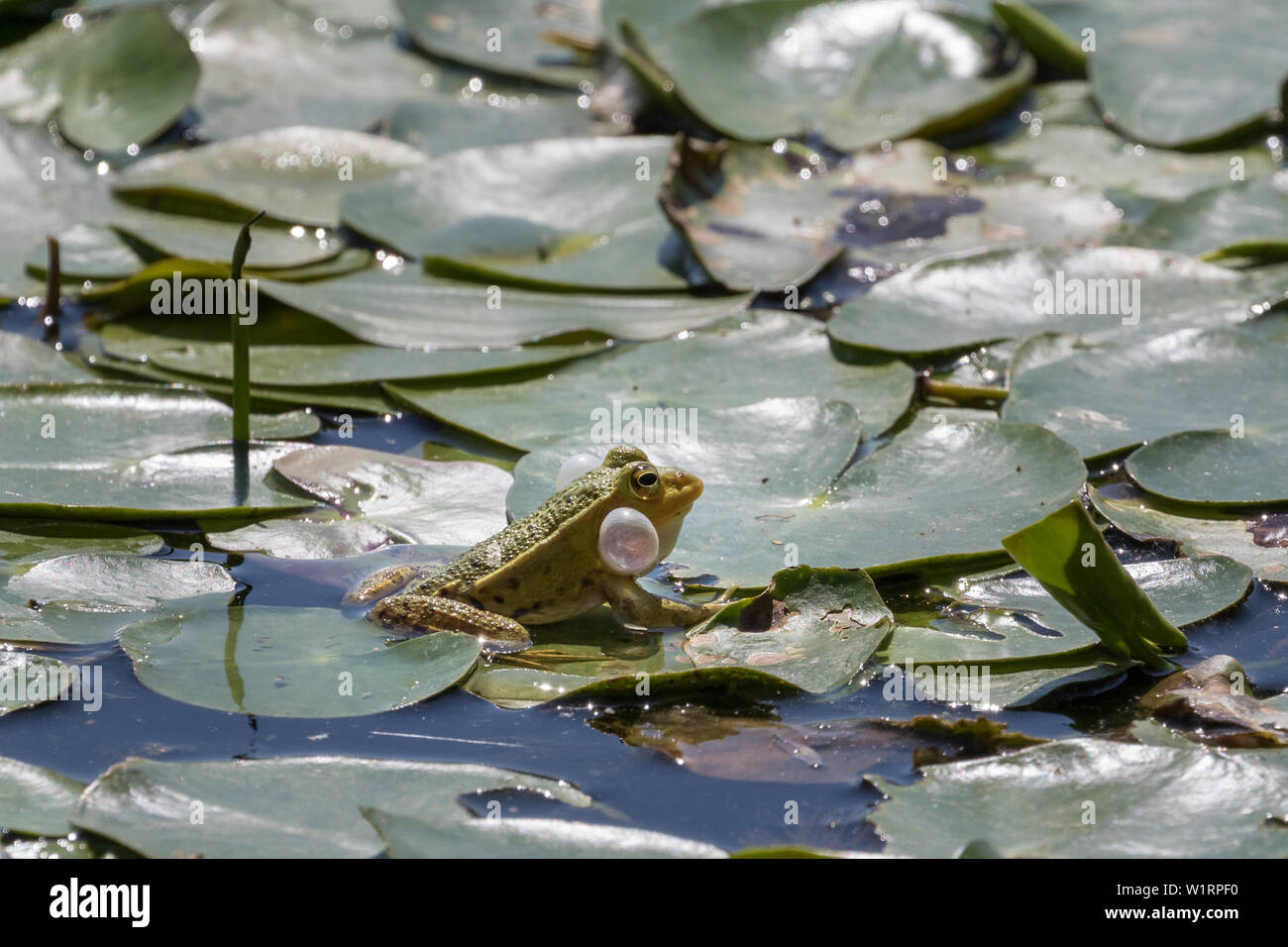 Croaking frog with bloated vocal sack - Stock Image