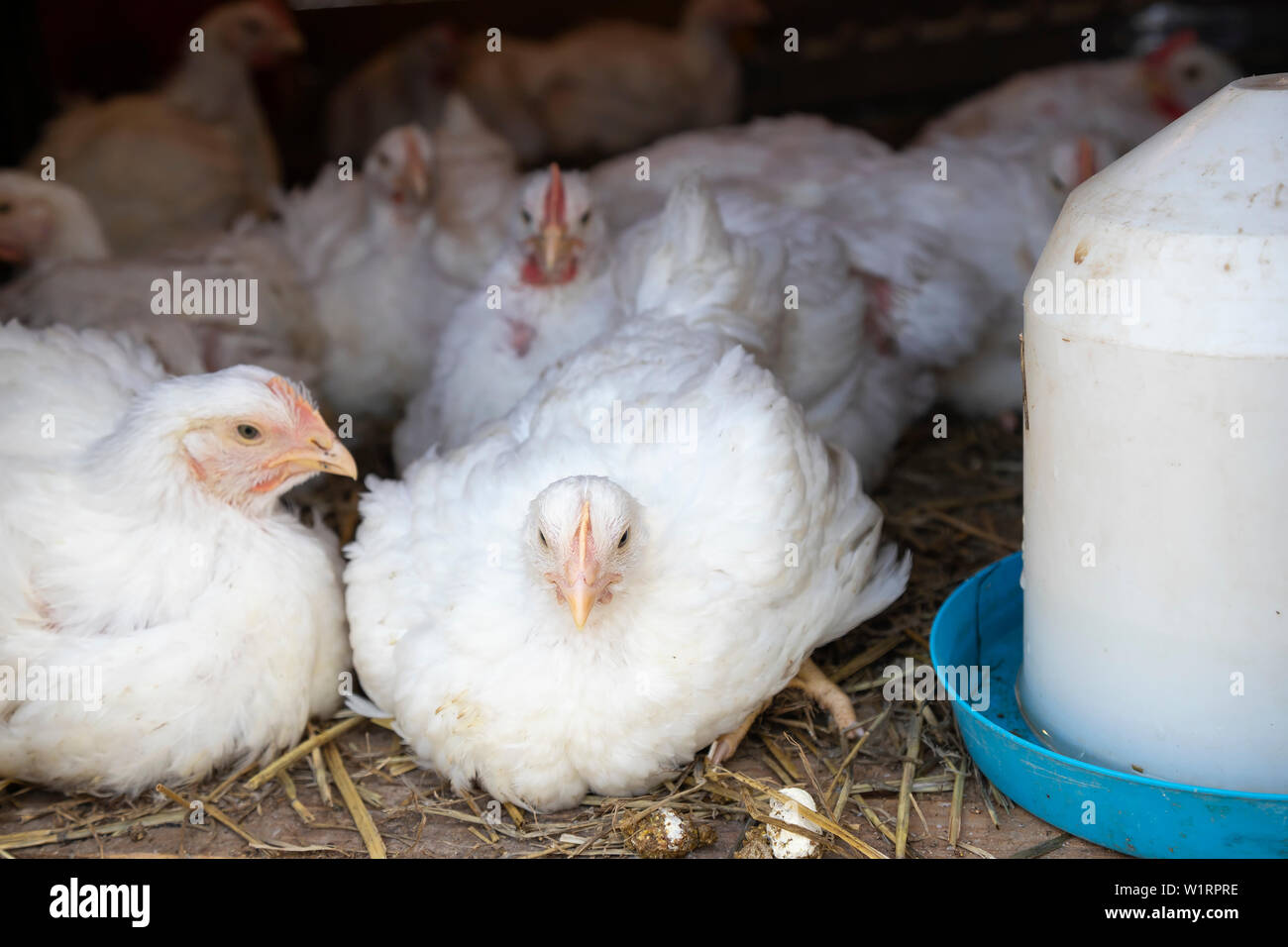 Rooster In Cage Stock Photos & Rooster In Cage Stock Images - Alamy