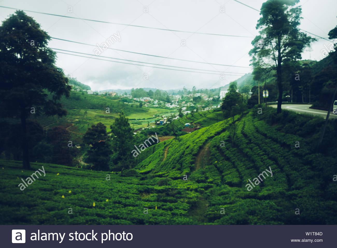Tea Plantage in Sri Lanka Stock Photo
