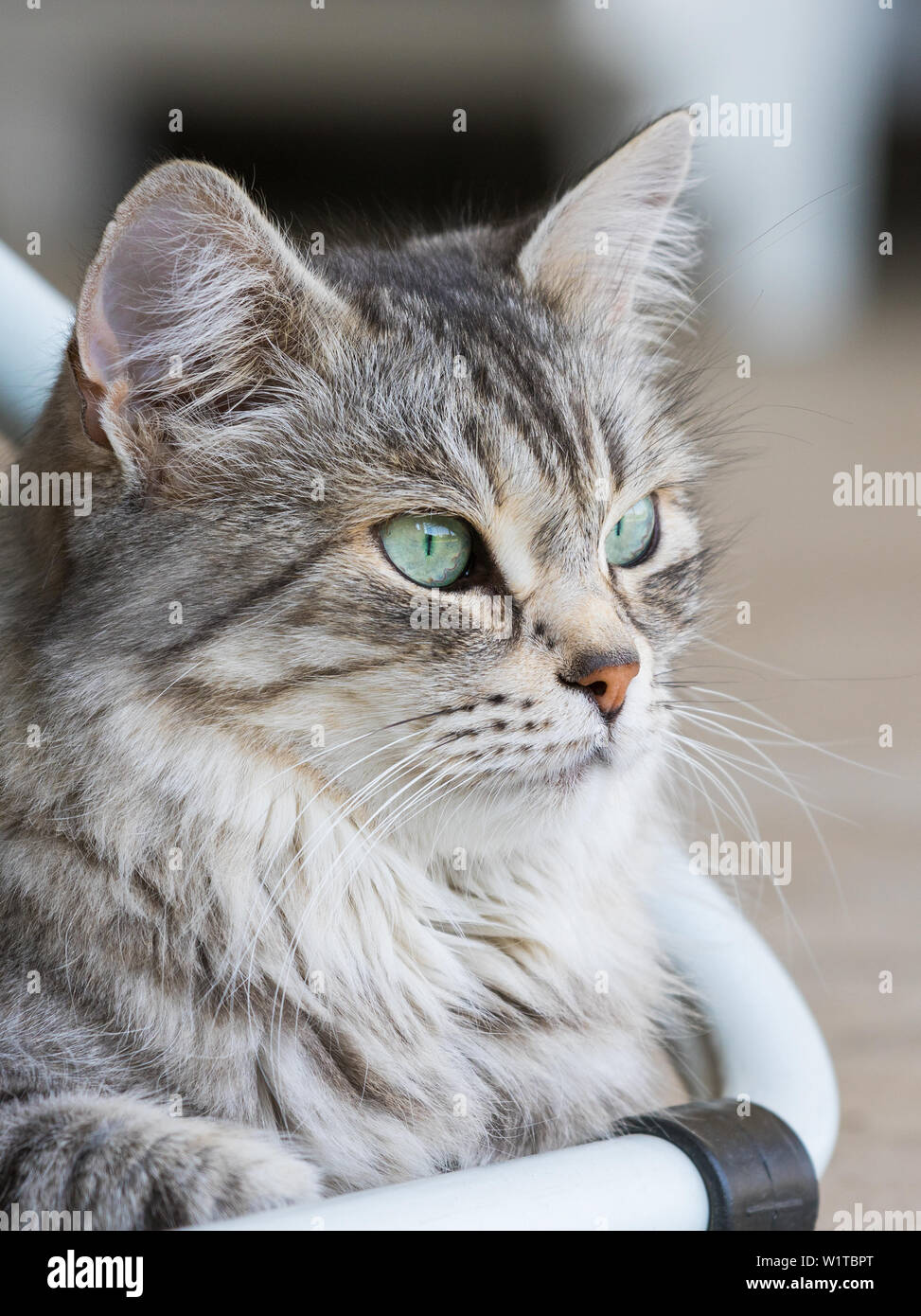 Beauty domestic cat of livestock in relax, siberian purebred Stock Photo