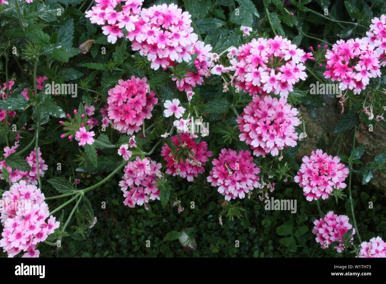 lush green bush of pink and purple verbena flower Stock Photo