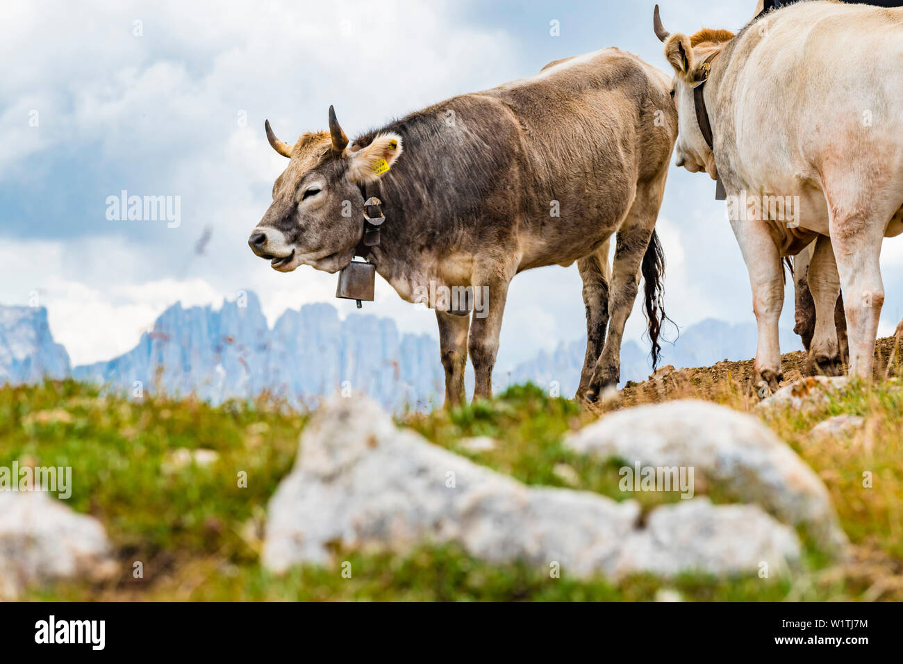 Cows on the plateau, Compatsch, Seiser Alm, South Tyrol, Italy - Stock Image