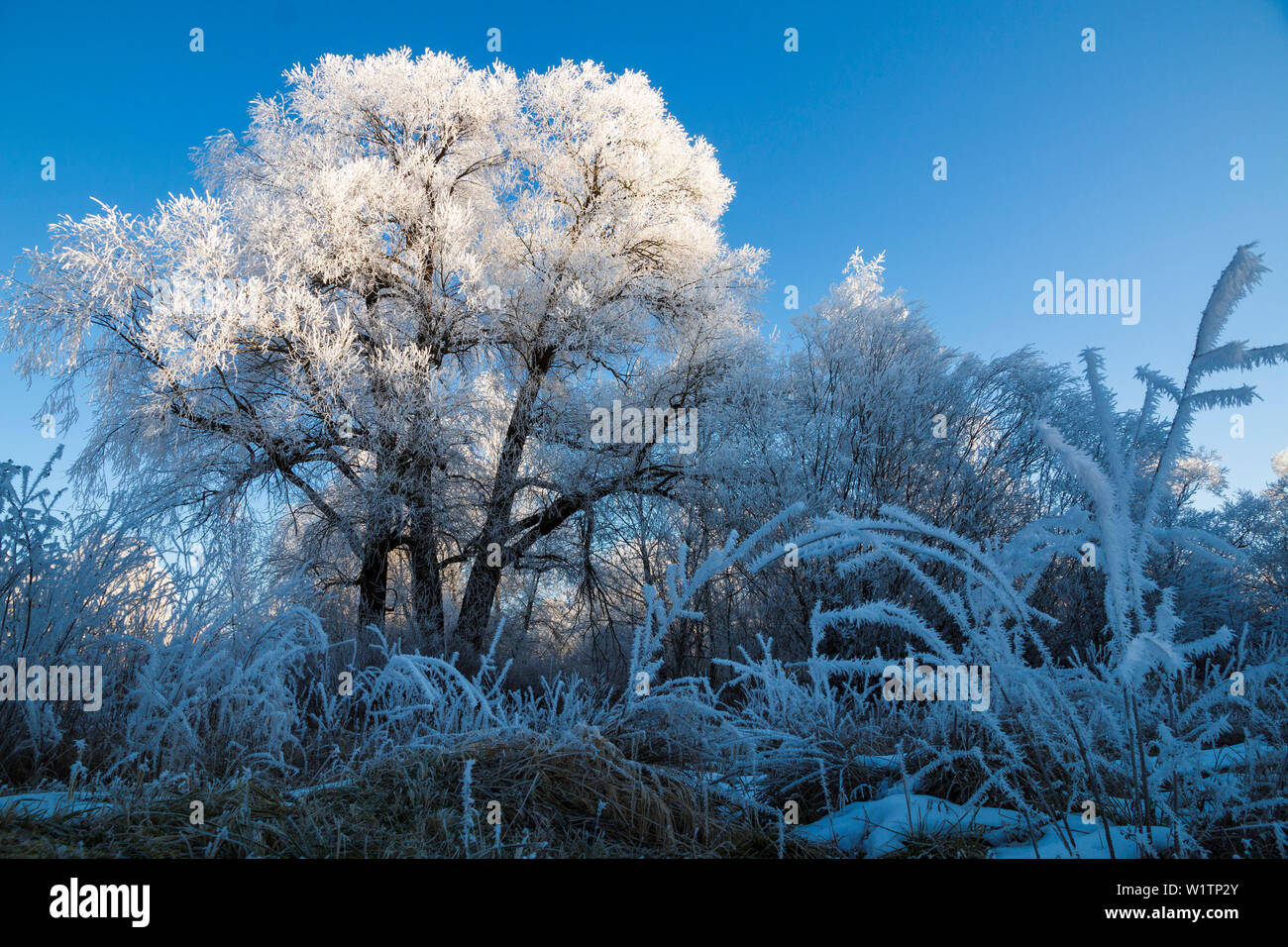 trees with whitefrost in winter, Willow, Salix spec., Upper Bavaria, Germany, Europe Stock Photo