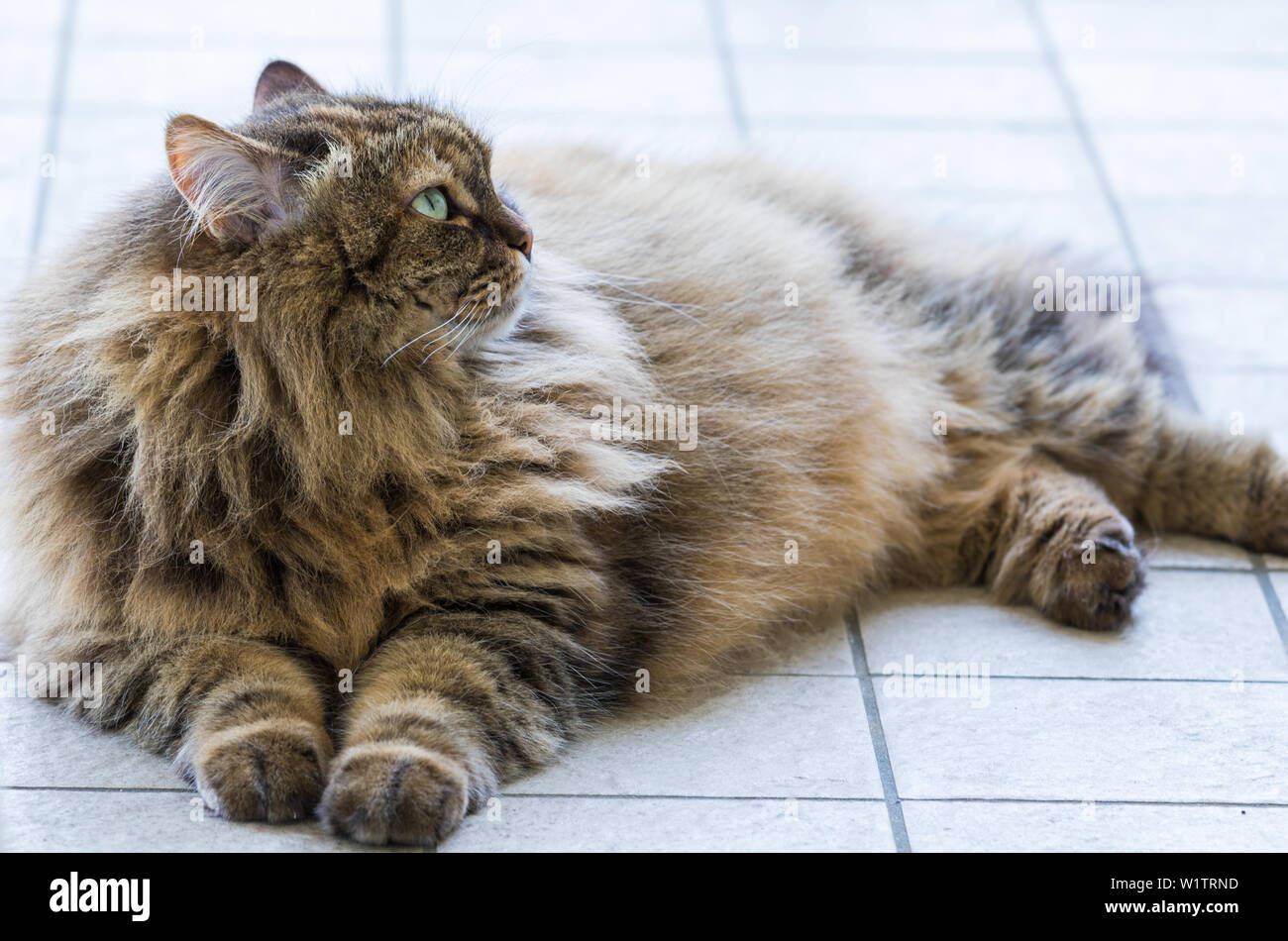 Beauty domestic cat of livestock in relax, siberian purebred - Stock Image