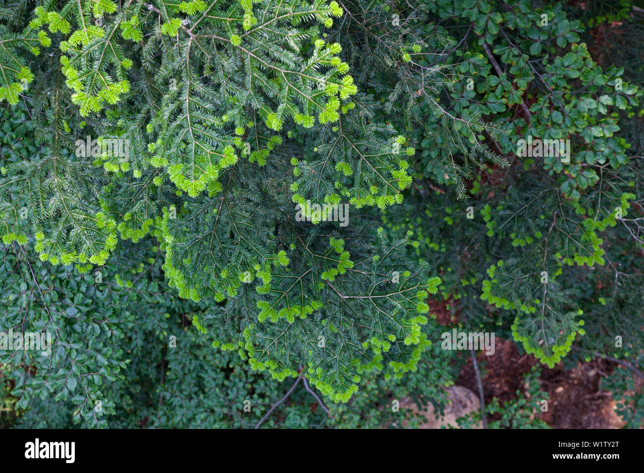 Fir tree, fresh sprouts, Abies alba, Bavarian Forest National Park, Lower Bavaria, Germany, Europe - Stock Image