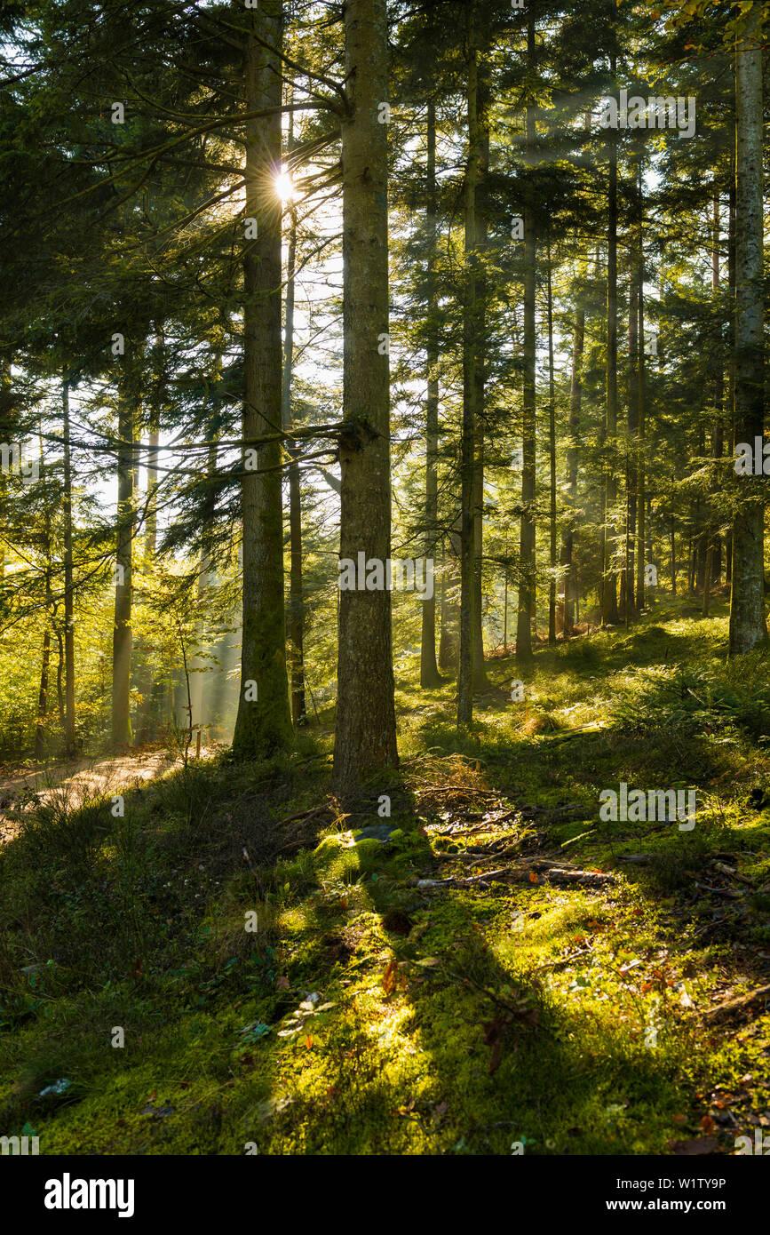 Spruce forest in autumn, backlight, rays of sunshine, Feldberg, Black Forest, Baden-Wuerttemberg, Germany - Stock Image