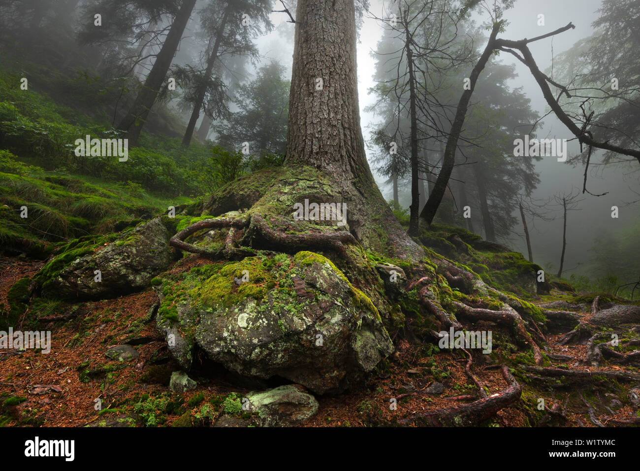 Roots of a spruce, hiking path to Grosser Falkenstein, Bavarian Forest, Bavaria, Germany - Stock Image