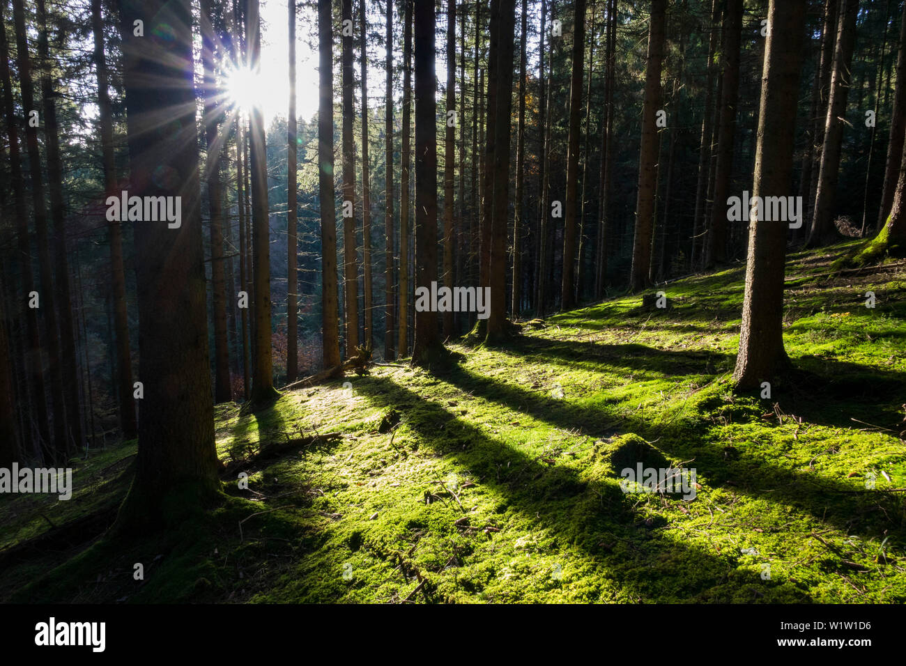 sunrays in spruce forest, Picea abies, Bavaria, Germany, Europe - Stock Image