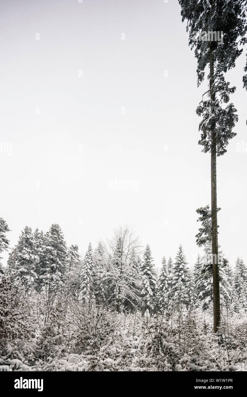 Fir tree in winter mixed forest, mountain, Bavaria, Germany - Stock Image