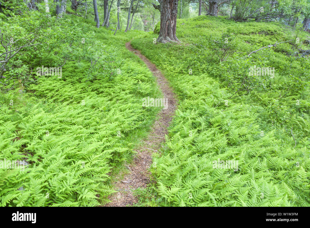 Path through the mountain forest Gjorahaugen, Gjora, More og Romsdal, Western Norway, Norway, Scandinavia, Northern Europe, Europe - Stock Image