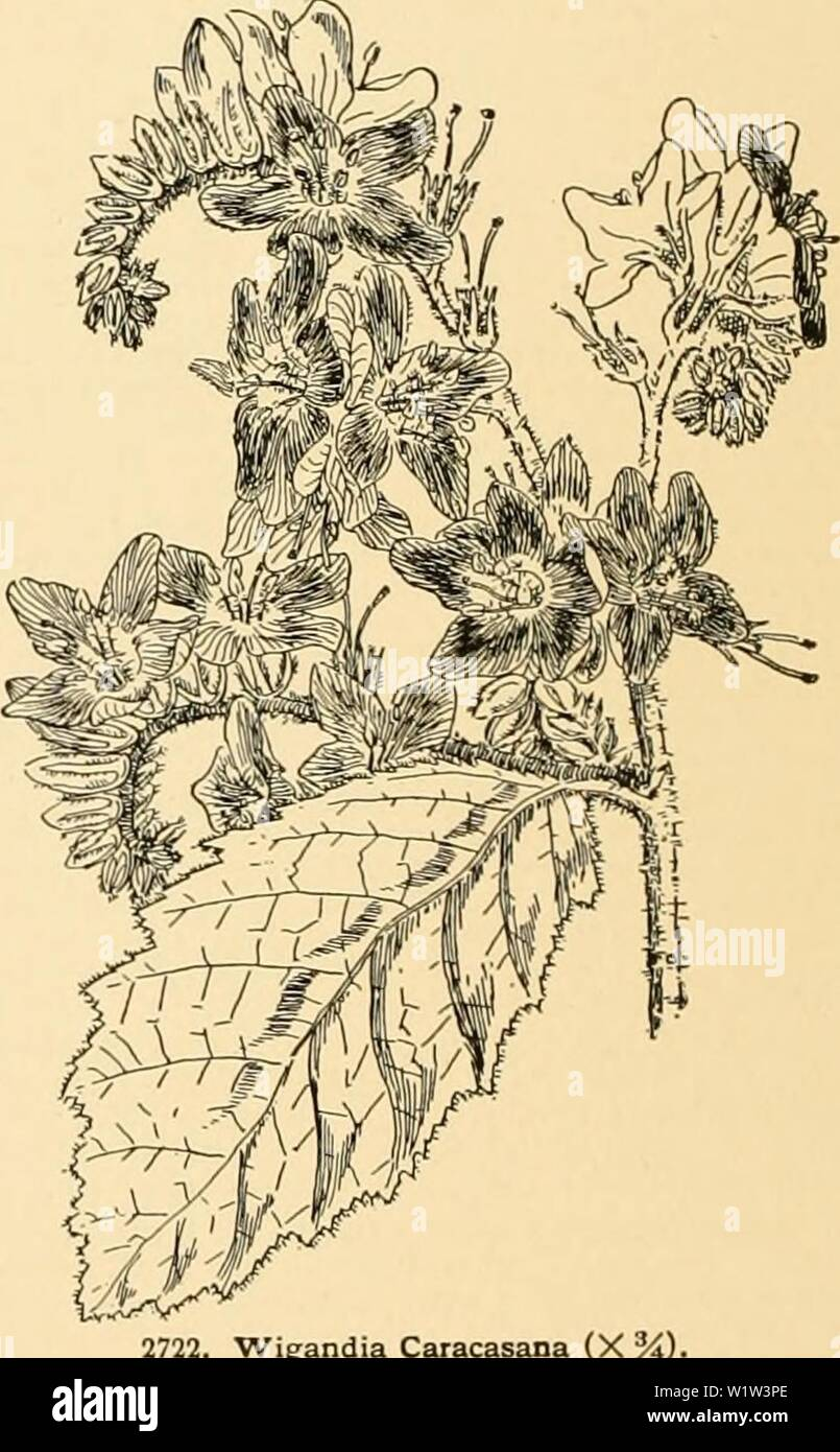 Archive image from page 563 of Cyclopedia of American horticulture Stock Photo