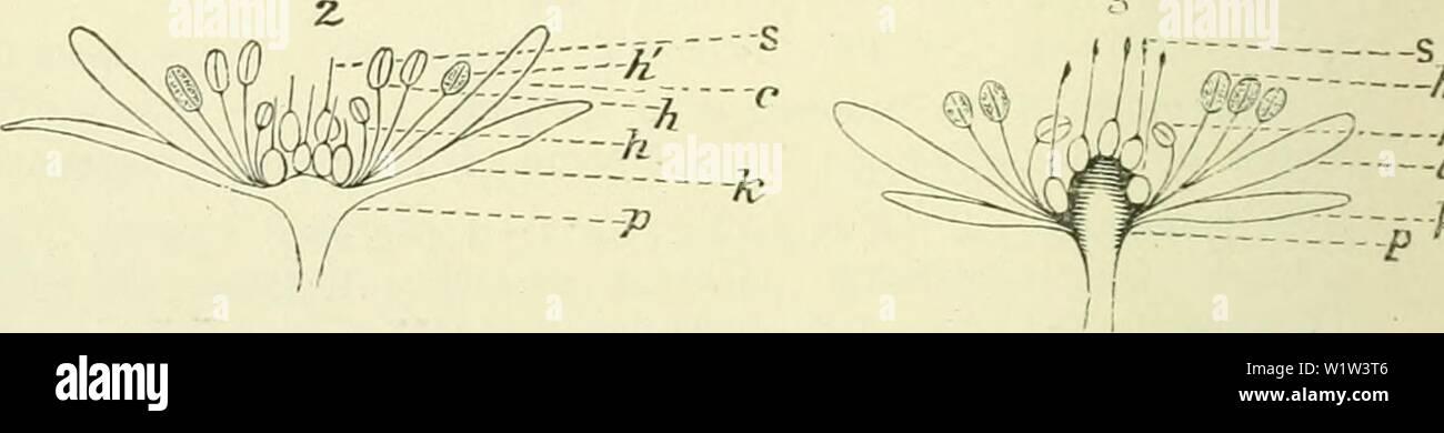 Archive image from page 563 of De flora van Nederland (1909-11). De flora van Nederland  defloravannederl02heuk Year: 1909-11. Bloemen van Rubus caesius Fig. 646. 1 Bloemen in het begin van den bloei, 2 Bloem iets later, 3 Bloem in een nog later stadium van den bloei, p bloembodem, k kelliblad, c i<roonblad, h gesloten, h open helmknopjes, s stempel. afgescheiden. Als de bloemen open zijn (fig. 646), zijn de meeldraden zoo ver uitstaand, dat ook kortsnuitige insecten met hun kop tusschen de meeldraden en stampers door den honig kunnen bereiken. Eerst springen de buitenste helmknopjes open, - Stock Image