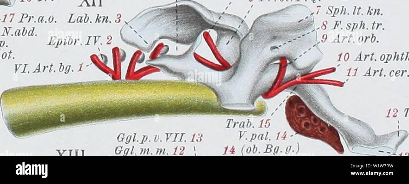 Archive image from page 598 of Denkschriften der Medicinisch-Naturwissenschaftlichen Gesellschaft zu. Denkschriften der Medicinisch-Naturwissenschaftlichen Gesellschaft zu Jena  denkschriftender47medi Year: 1879 ...-54 R.i.md.V. .55 Cav. art. 56 Thyr. Kn. ' Art thyr. Lg. h. md. 9 I. Schi. t. 60 N. md. e. VII. -61 H. md. o. 62IA.bg. .'-63 R. hg. 64 Ker. hg. '-65 M.l.br.I. Ker.br. I. 67 II.K.sp. 68 M. lev. br. IL. 69 Art.eff.br.il. 70 M. I. br. III. â 71 M. I br. IV. 2 M.d.ph.cl.br. 73 A. äff. br. III. IT.K.sp. K.br.LT. K.sp.(VLSchU) br.V Schi. t. Thyr. 17 XIV C. s. c. s 'â Sph.lt.kn. F.sph.ot. - Stock Image