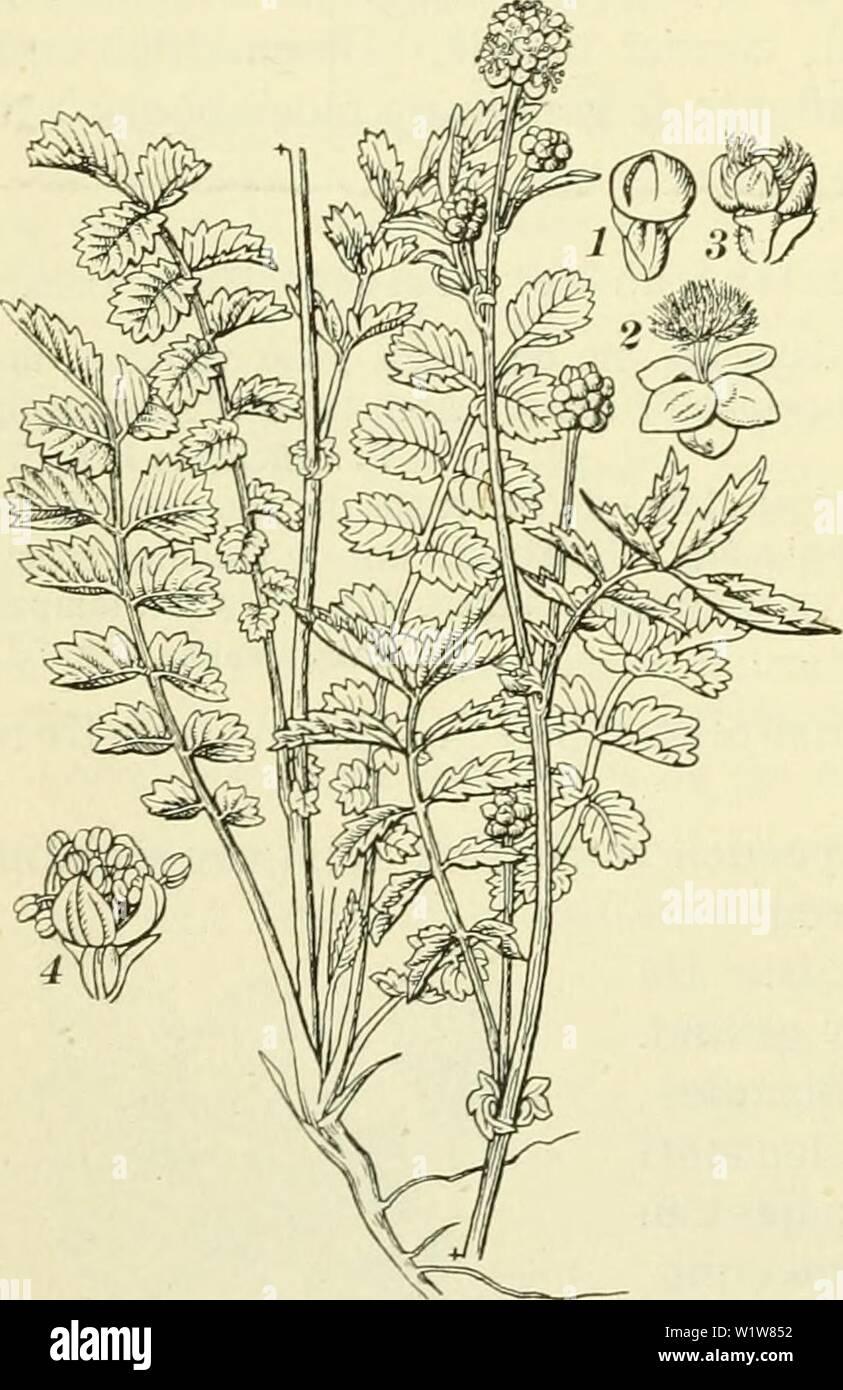 Archive image from page 603 of De flora van Nederland (1909-11). De flora van Nederland  defloravannederl02heuk Year: 1909-11. Fig. 698. Doorsnede der bloem van Poterium officinale. vb vruchtbesinsel, h honigkliertjes, hk helniknopjes, st stempel. pernel Biologische bijzonderheden. Bij Anthyllis zal eene eigenaardige ver- houding beschreven worden tusschen deze plant en Lycaena Hylas, een dergelijke bestaat ook tusschen Lycaena Arcas en P. officinale. Echter komen in deze bloemen ook wel andere insecten, die geen eieren in de vruchtbeginsels leggen en toch de kruisbestuiving bewerken. De bloem - Stock Image