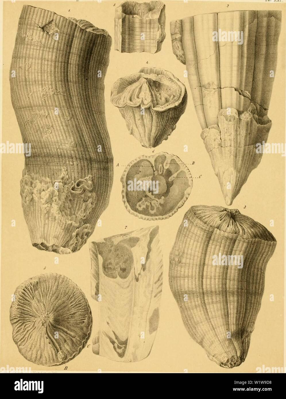 Archive image from page 626 of Denkschriften der Kaiserlichen Akademie der. Denkschriften der Kaiserlichen Akademie der Wissenschaften, Mathematisch-Naturwissenschaftliche Classe  denkschriftender25kais Year: 1866 y.illi'l. Ilrt' Jiivalvcii iltT l)us;uit>'('liil(l(>. Taf.XXl.    iliti. Sdumn. n. i Dciiksrliriru'ii der k.Ak.ul d WissfiiM-li Mintliciii iialiinv Cl.X.W. Inl ISti'.' Stock Photo