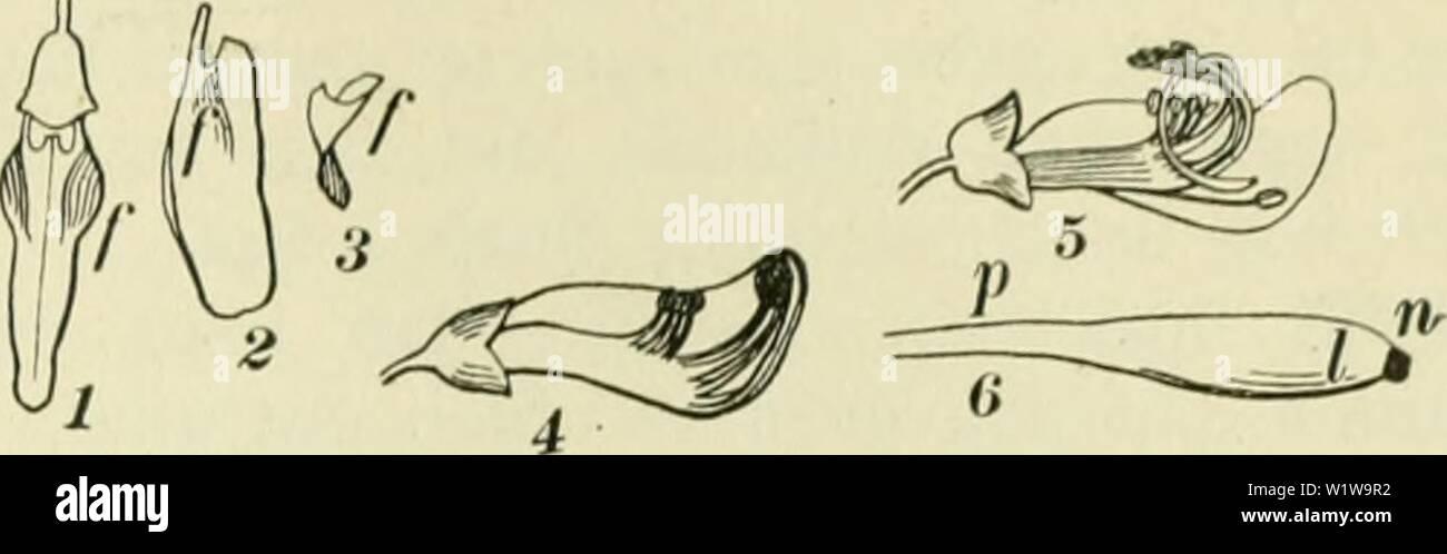 Archive image from page 632 of De flora van Nederland (1909-11). De flora van Nederland  defloravannederl02heuk Year: 1909-11. FAMILIE 78. — PAPILIONACEAE. — 601    Sarothamnus vulgaris Fig. 726. 1 Niet ontplofte bloem van boven gezien, na het wegnemen van vlag en zwaarden, 2 linkerzwaard van de binnenzijde gezien, de plooi ƒ vertoonend, die zich in de instulping ƒ (/) van de kiel legt, 3 de instulping van de kiel, recht van voren gezien, 4 lig- ging der ineeldraden in de niet ontplofte bloem, 5 ligging van die deelen na de ontploffing, 6' einde van den stijl met den stempel n, van de binnenzi - Stock Image