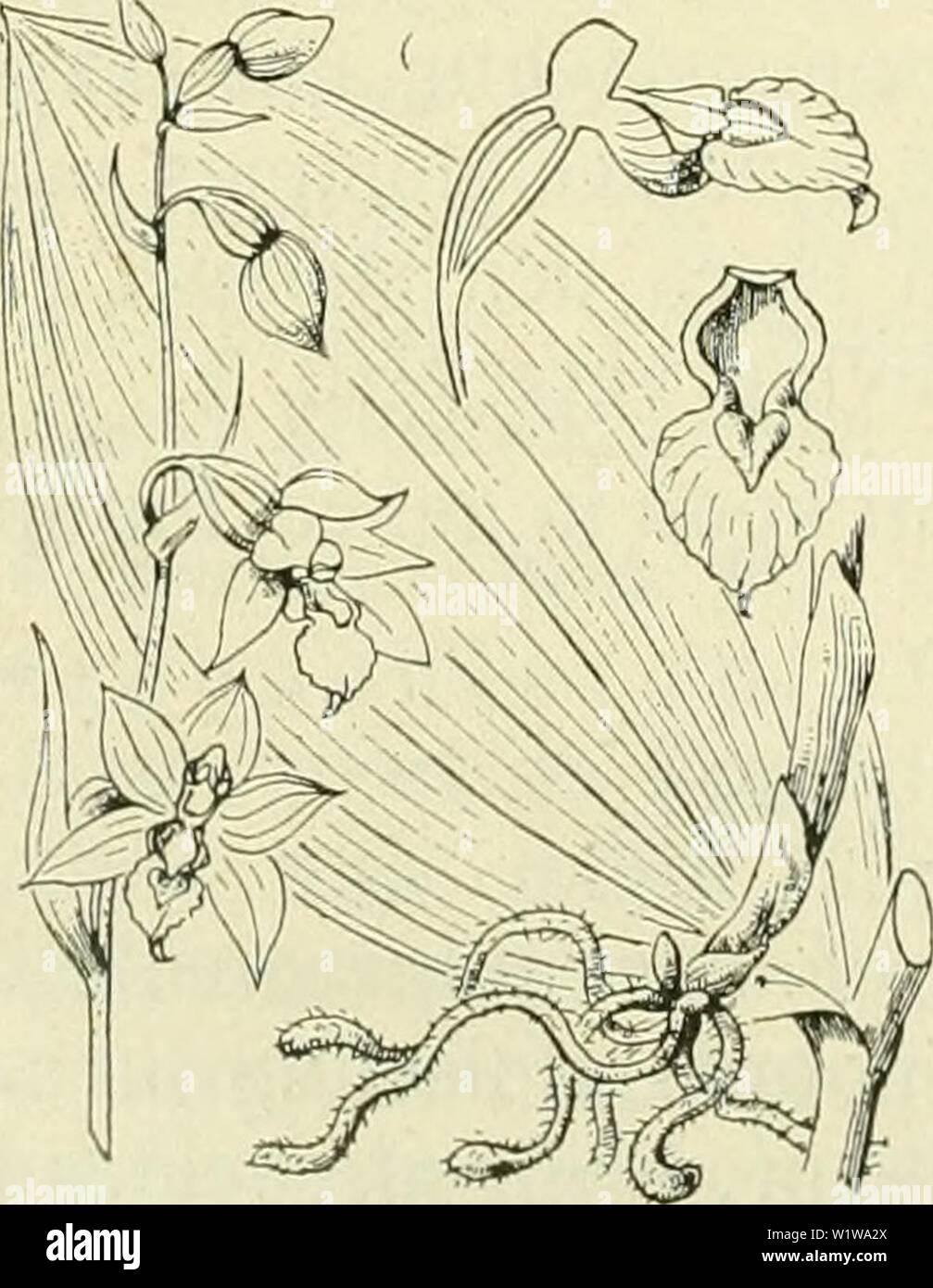 Archive image from page 635 of De flora van Nederland (1909-11). De flora van Nederland  defloravannederl01heuk Year: 1909-11. 94 ORCHIDACEAE. FAMILIE 19. verdikt Vruchtbeginsel niet, doch de bloemsteel wel gedraaid. Stempelzuil kort, iets toegespitst. Helmknop bijna rechtopstaand, vrij, beweeglijk, boven het snaveltje uitstekend, stomp, met korten helmdraad. Stuifmeelklompjes zittend, door een streep in 2 helften gedeeld met korrelig stuifmeel, alleen door fijne elastische draden onderling verbonden. Zij zijn door een gemeen- schappelijk, bijna bolrond hechtkliertje vereenigd. Stempel bijna v - Stock Image