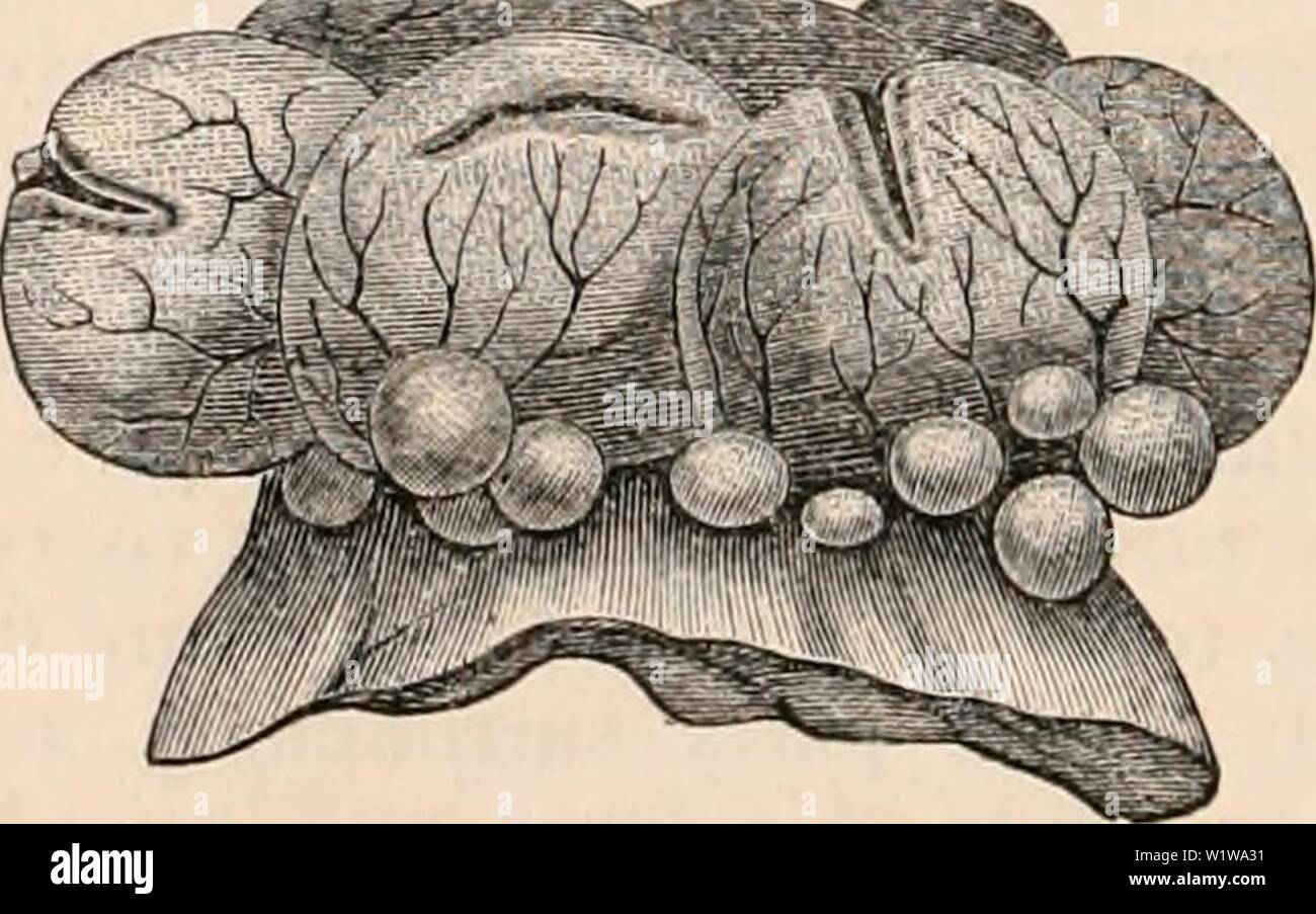 Archive image from page 635 of The cyclopædia of anatomy and. The cyclopædia of anatomy and physiology  cyclopdiaofana05todd Year: 1859 Ovum of the rabbit in the act of escaping from a rup- tured Graafian follicle. (.After Barry.) The ovum is surrounded by the tunica granulosa, g1, and draws after it the' portion of membrana granulosa termed the retinacula, #2 ; at h, where the rupture, has taken place, the coat's of the follicle are attenuated, and towards this spot numerous vessels converge. The form and size of the aperture by which the ovum escapes varies considerably. In the rabbit it gen - Stock Image