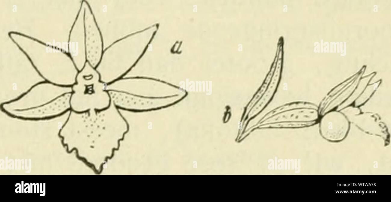Archive image from page 638 of De flora van Nederland (1909-11). De flora van Nederland  defloravannederl01heuk Year: 1909-11. Epipactis microphylla Fig. 550. Bloem van Epipactis microphylla Fig. 551. a van voren , b van ter zijde gezien. als of iets korter dan de buitenste, aan weerszijden groenachtig tot groenachtig wit. De lip is purperkleurig tot bleekgroen, aan den rand witachtig. nauwelijks korter dan de andere bloemdekbladen, het achterste lid is langwerpig, zakachtig verdiept, naar achteren samen- gedrukt met een wijde monding, de bovenranden zijn afgerond en stooten tegen de stempel- - Stock Image