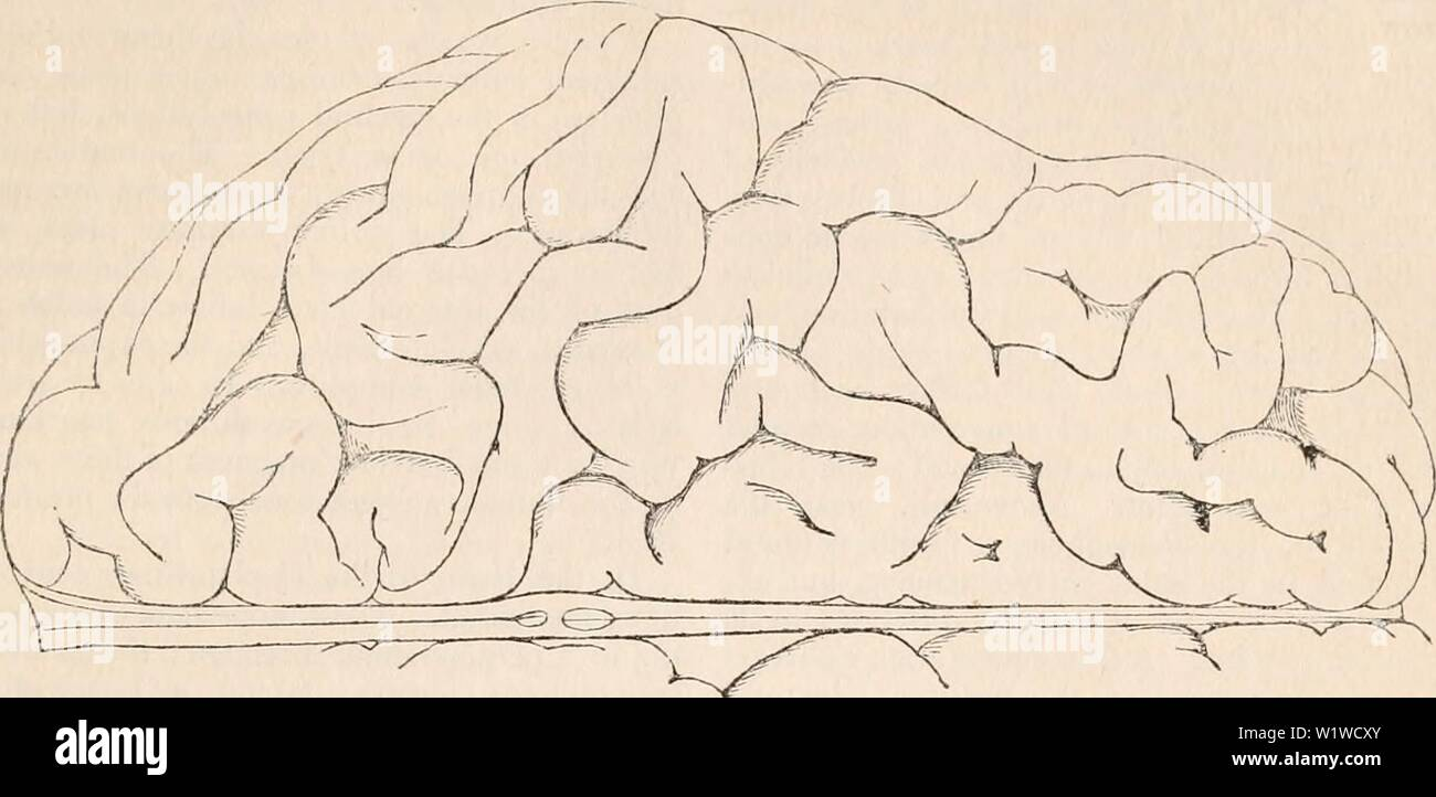 Archive image from page 708 of The cyclopædia of anatomy and. The cyclopædia of anatomy and physiology  cyclopdiaofana03todd Year: 1847 NEItVOUS CENTRES. (HUMAN ANATOMY. THE EMCEPIIALON.) Fig. 394. 695    Superior surface of the right hemisphere of the adult human brain. The undulating form of many of the convolutions is very well seen, and the general characters of the convoluted surface are displayed. of the rabbit, the beaver, the guinea-pig, the agouti shew these fissures. They are generally regular in different individuals of the same genus, and they are symmetrical, i. e., of the same le Stock Photo