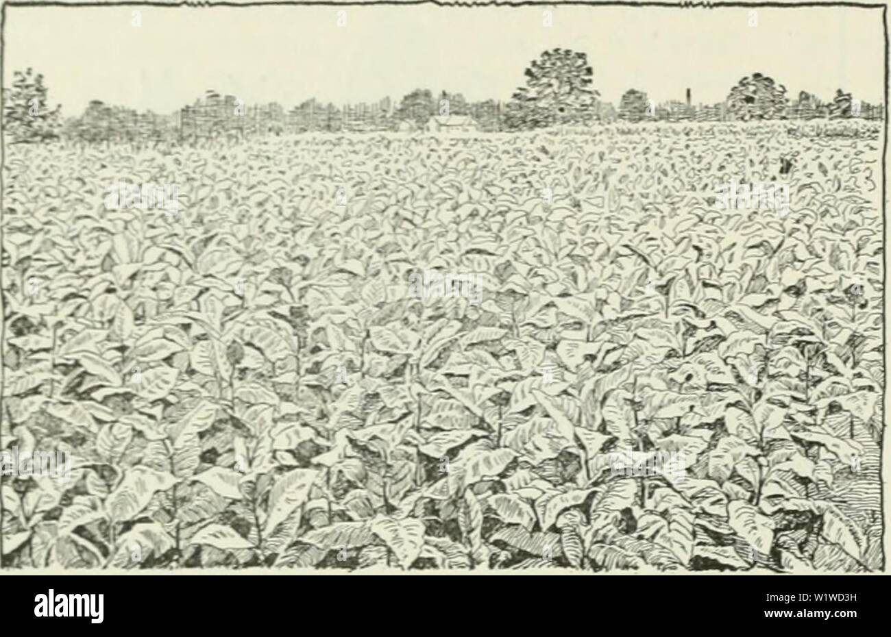 Archive image from page 715 of Cyclopedia of farm crops . Cyclopedia of farm crops : a popular survey of crops and crop-making methods in the United States and Canada  cyclopediaoffarm00bailuoft Year: 1922, c1907 646 TOBACCO TOBACCO cable to inter-till the tobacco until shortly before the top leaves are taken otf. In dry seasons this serves to retain the soil moisture by preventing excess evaporation due to soil capillarity. When the plants begin to bud, all except the in- dividual plants saved for seed purposes should be    Fig. 872. Tobacco-field in Louisiana. topped. Xo very definite rule c - Stock Image